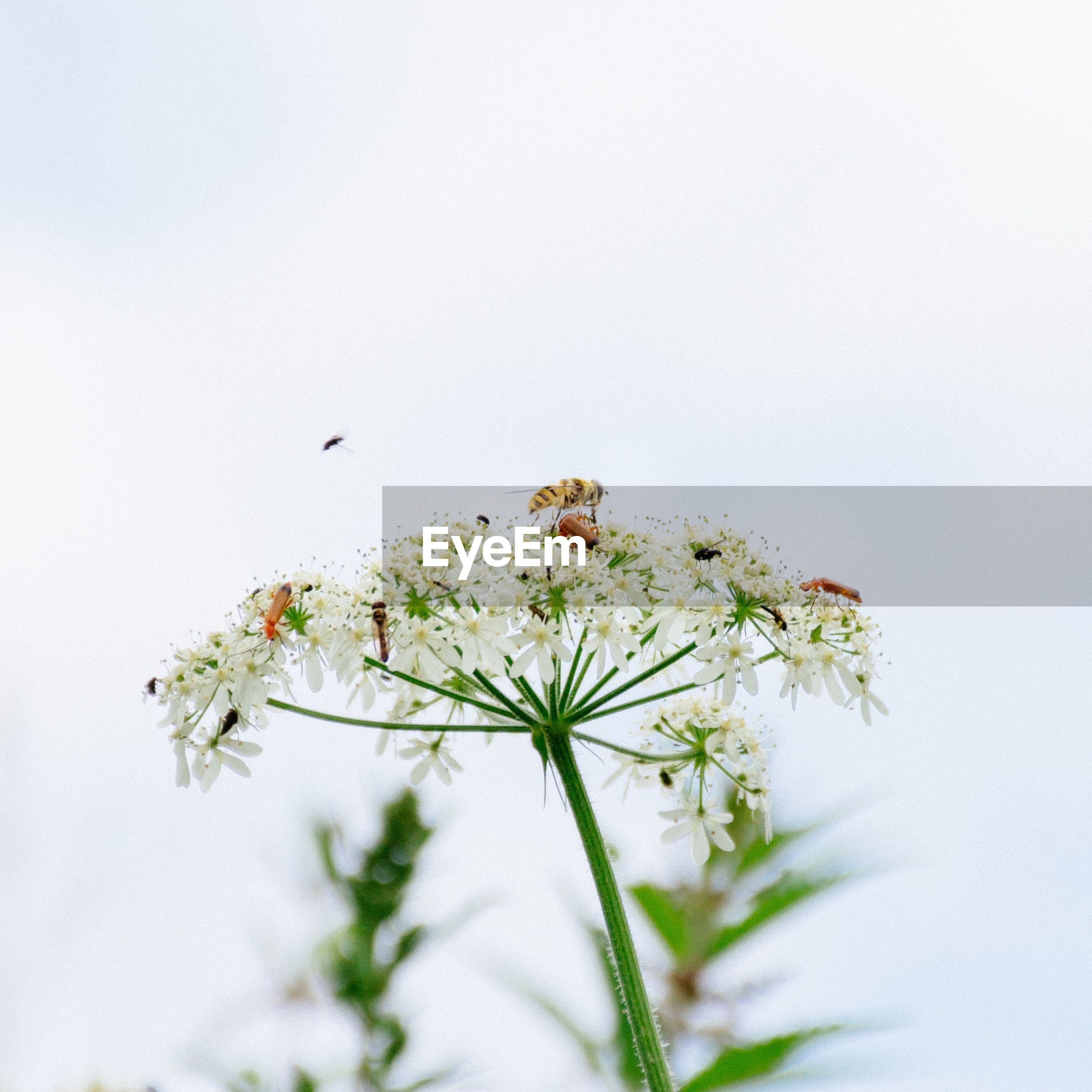 Bee on queen annes lace against sky