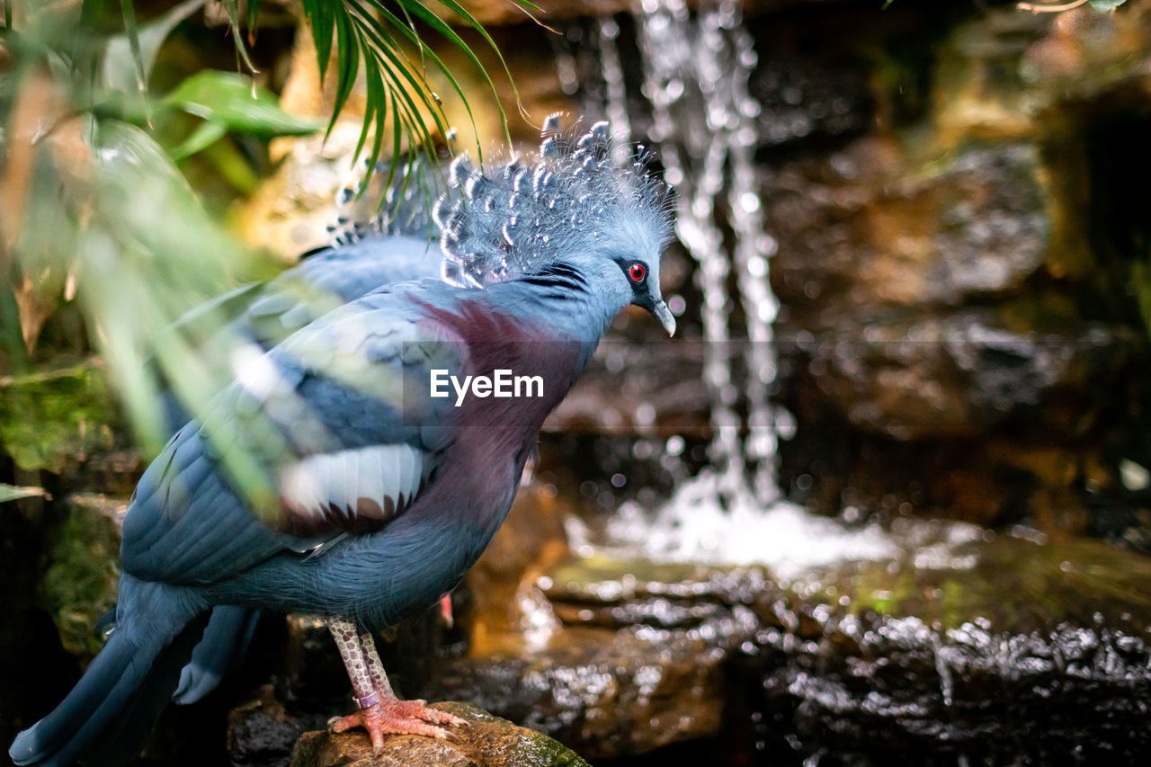 Close-Up Of Victoria Crowned Pigeon Perching On Rock