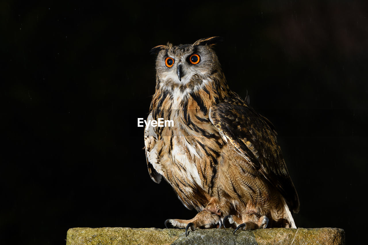 animal themes, animal, one animal, bird, animal wildlife, bird of prey, vertebrate, animals in the wild, owl, no people, perching, nature, copy space, portrait, looking, looking at camera, close-up, focus on foreground, outdoors, black background, yellow eyes, eagle