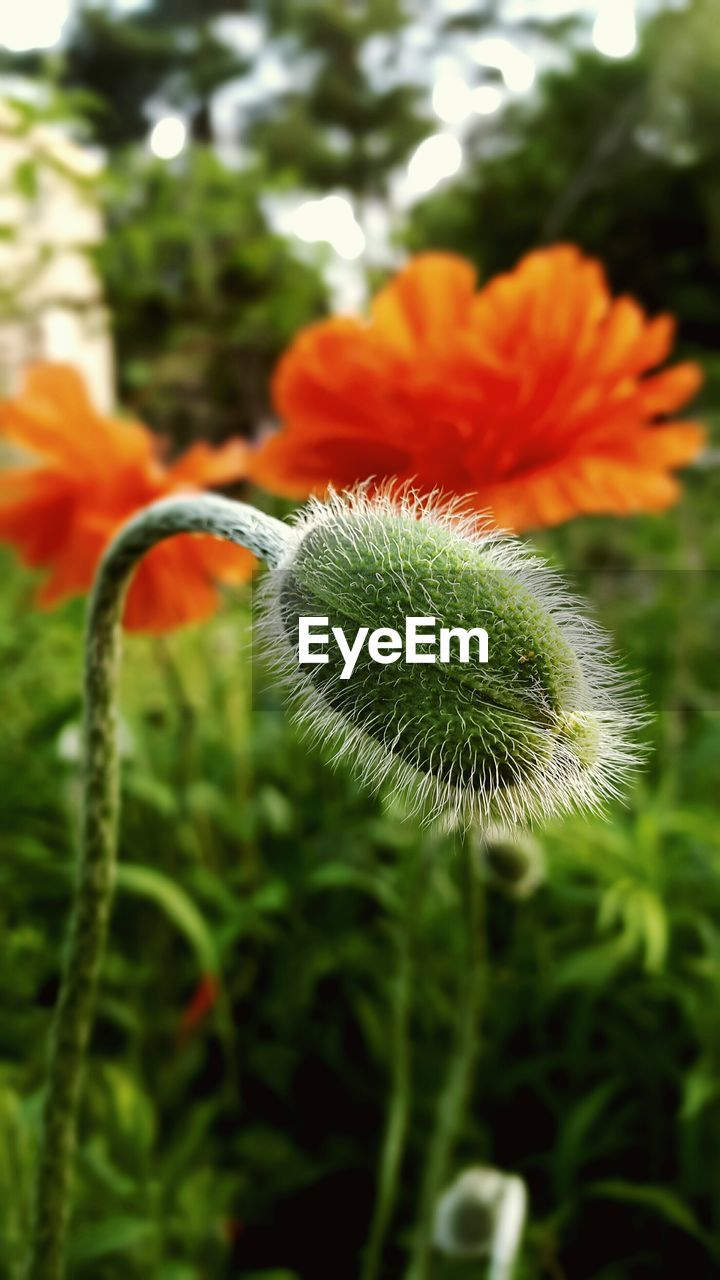 growth, nature, flower, beauty in nature, plant, no people, fragility, close-up, freshness, green color, outdoors, day, flower head, blooming, poppy