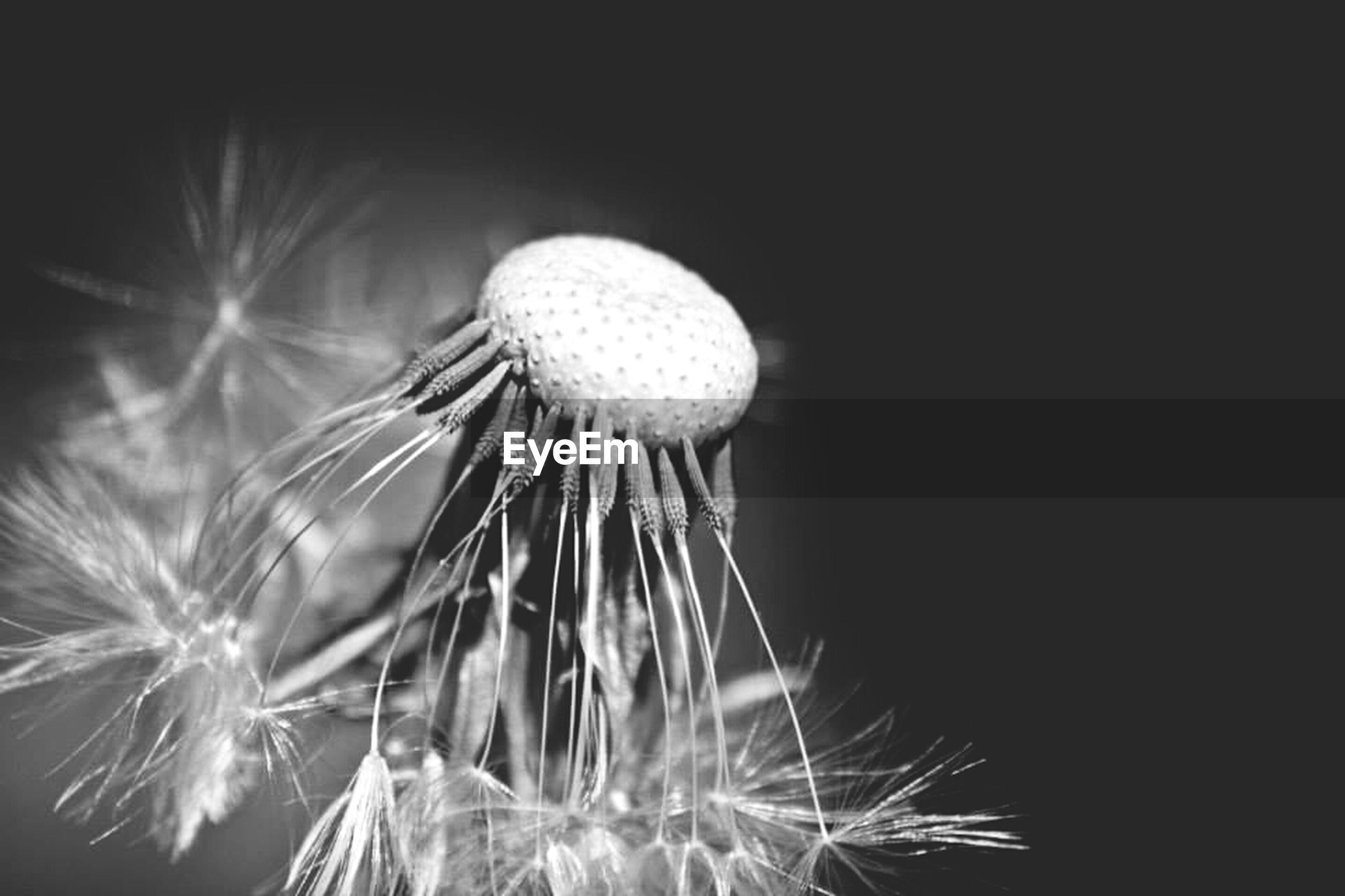 CLOSE-UP OF DANDELION OVER WHITE BACKGROUND