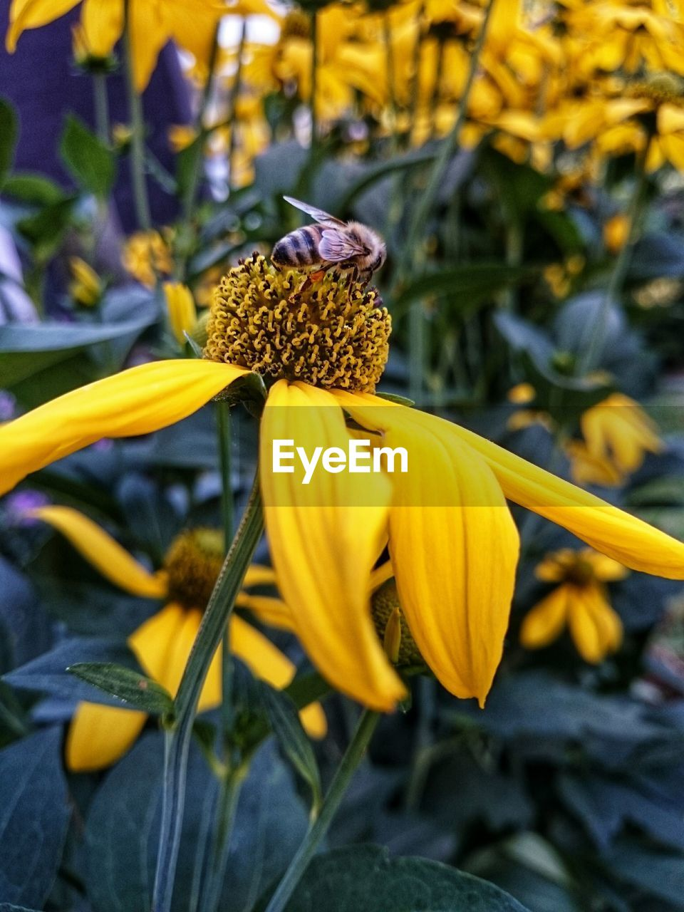 flower, flowering plant, vulnerability, plant, fragility, yellow, freshness, growth, beauty in nature, flower head, petal, inflorescence, close-up, nature, no people, day, focus on foreground, pollen, coneflower, botany, outdoors, pollination