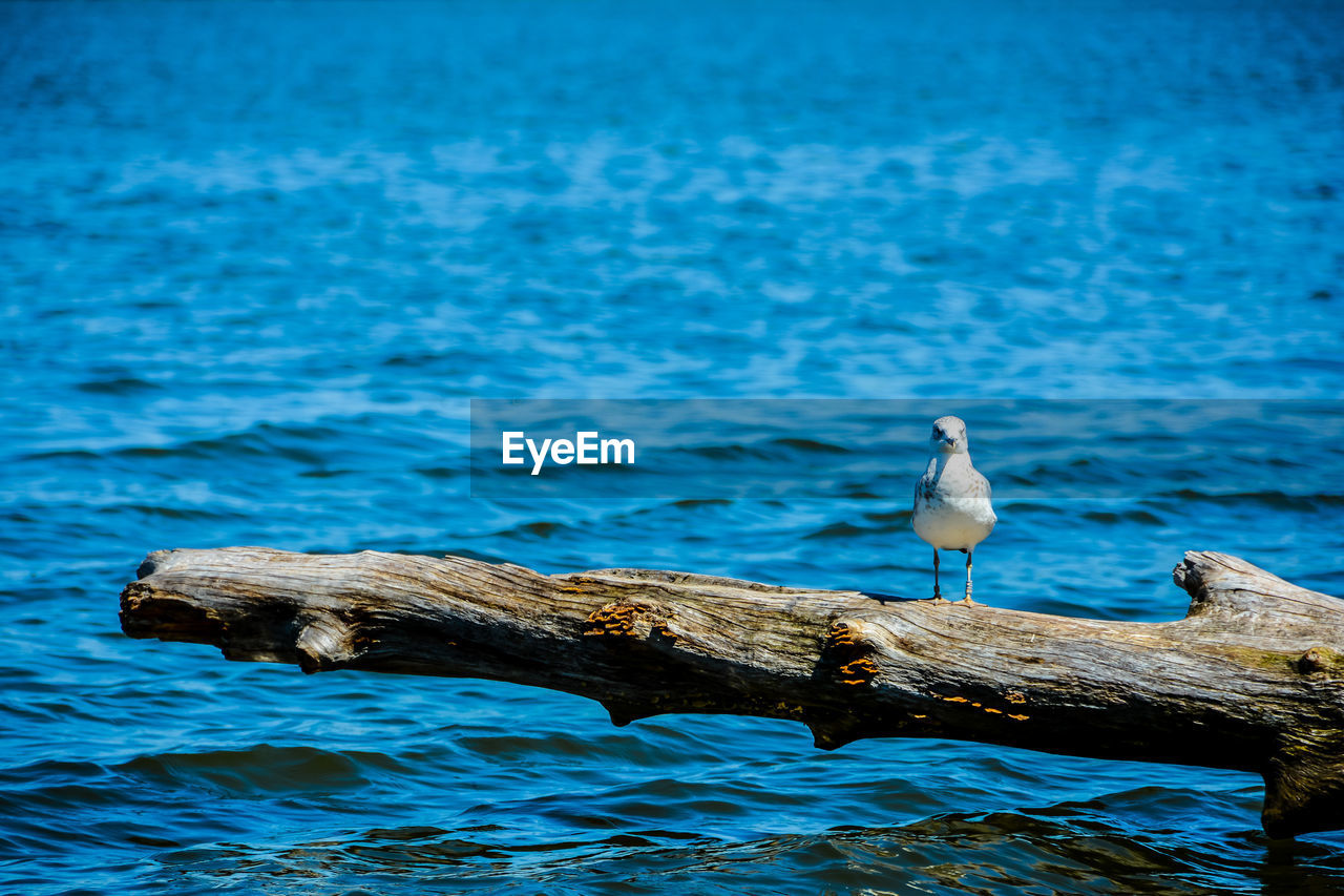 animal wildlife, animals in the wild, animal themes, animal, vertebrate, water, one animal, bird, perching, seagull, no people, sea, day, waterfront, blue, focus on foreground, beauty in nature, nature, wood - material, outdoors, wooden post, driftwood