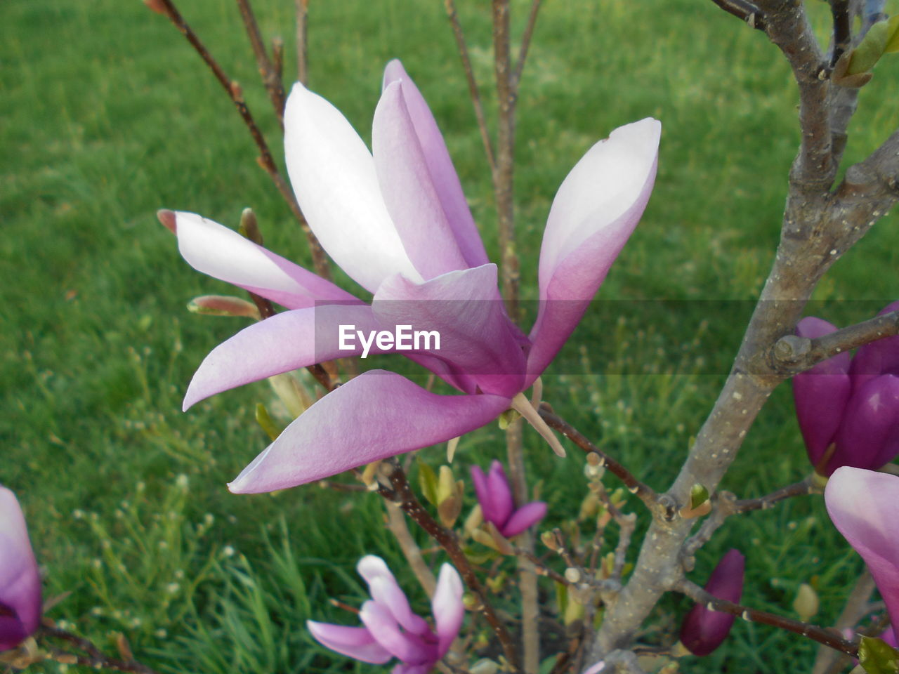 flowering plant, flower, plant, vulnerability, freshness, fragility, petal, beauty in nature, growth, close-up, inflorescence, flower head, nature, day, focus on foreground, purple, outdoors, pink color, no people, iris, springtime, crocus