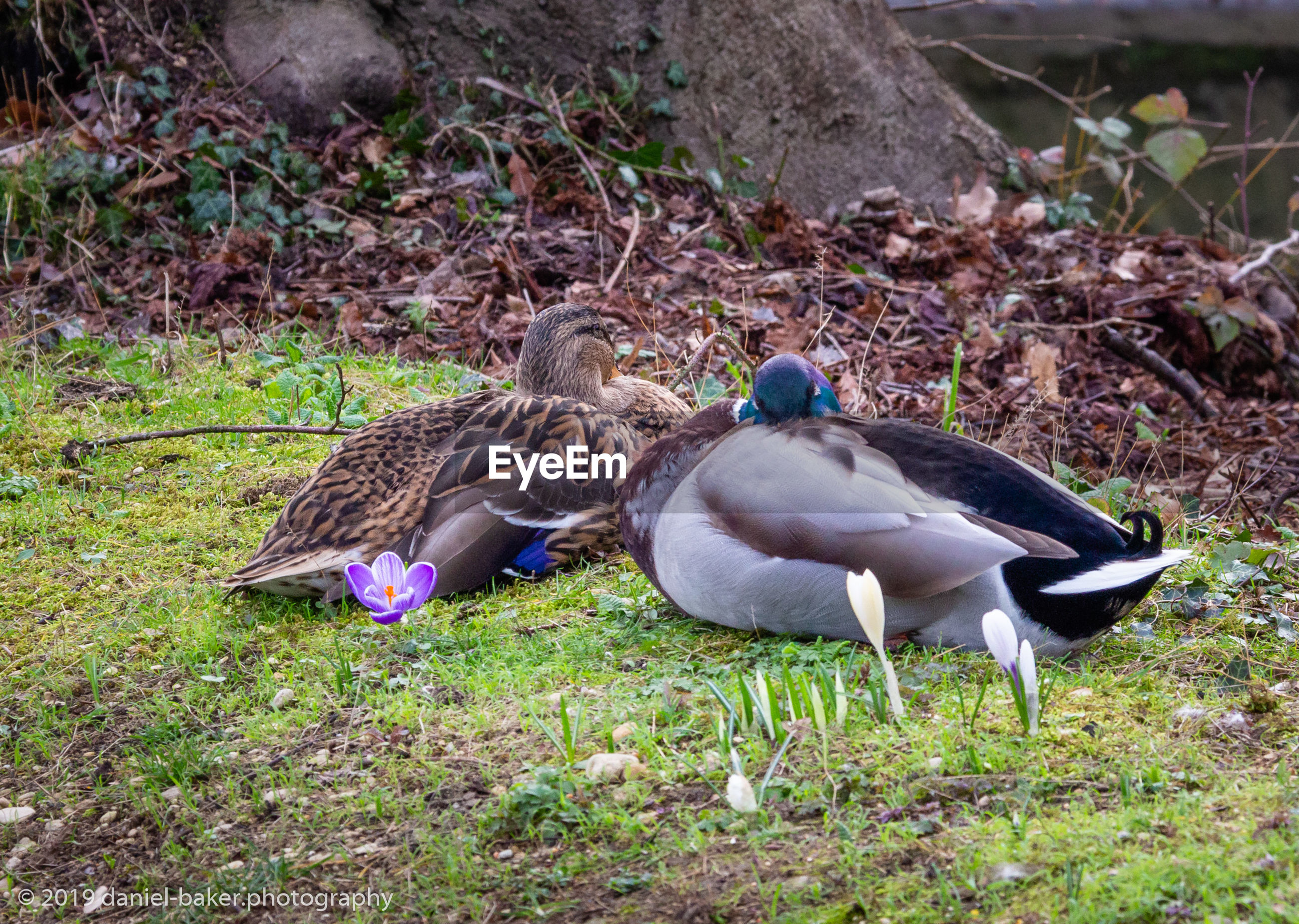 animal themes, animal, bird, animals in the wild, vertebrate, animal wildlife, land, group of animals, field, grass, plant, two animals, nature, day, no people, duck, poultry, young animal, togetherness, outdoors, animal family