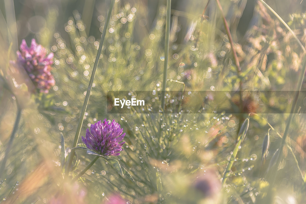 flower, plant, flowering plant, freshness, beauty in nature, growth, fragility, vulnerability, selective focus, nature, close-up, pink color, no people, petal, day, inflorescence, flower head, purple, land, field, outdoors, dew