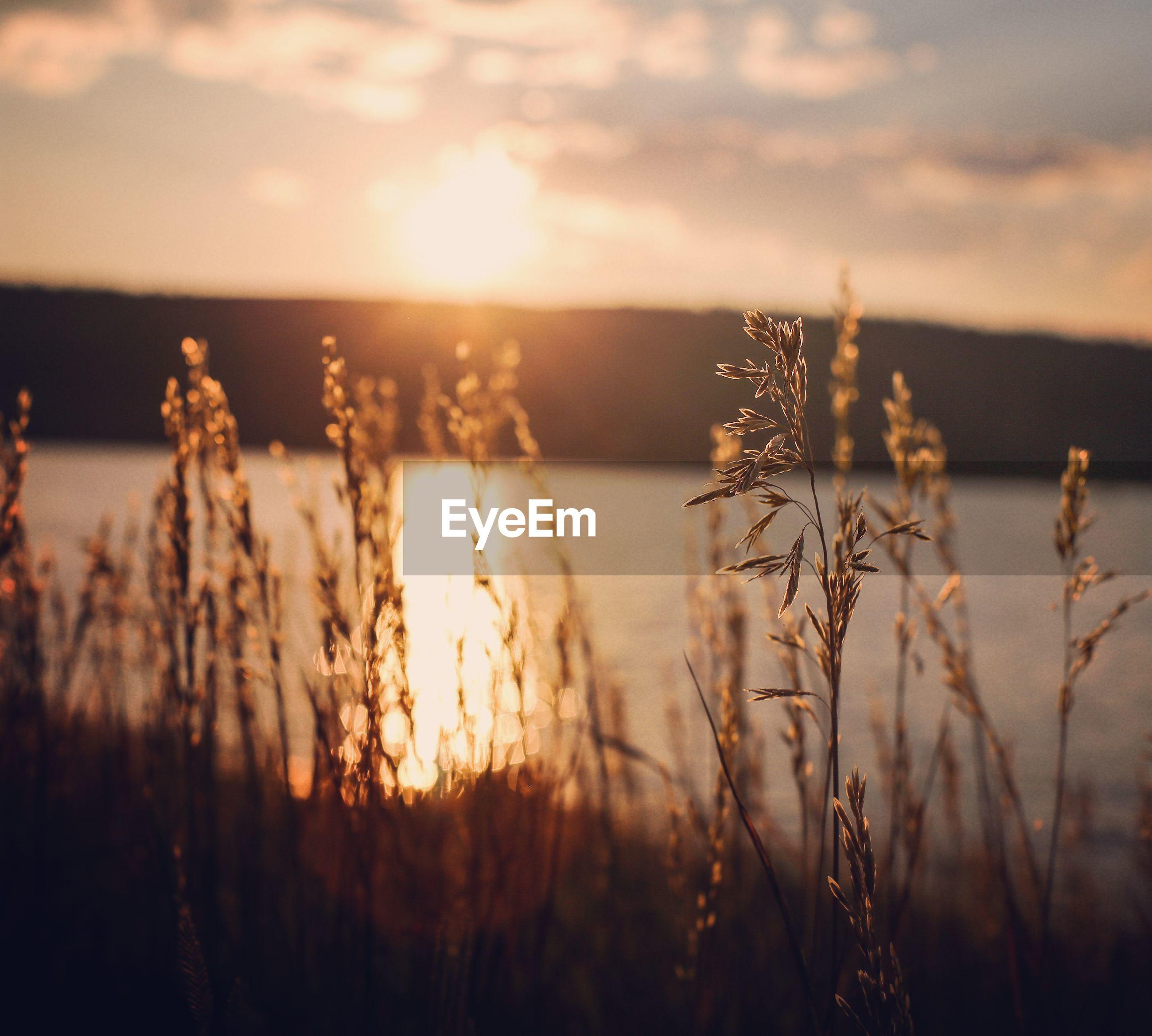 Stalks against lake during sunset
