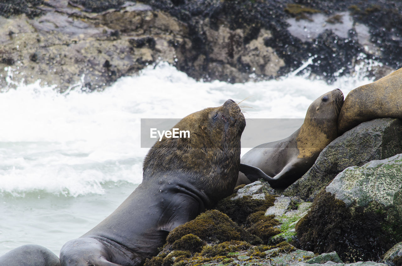 Sea lions on rocky shore