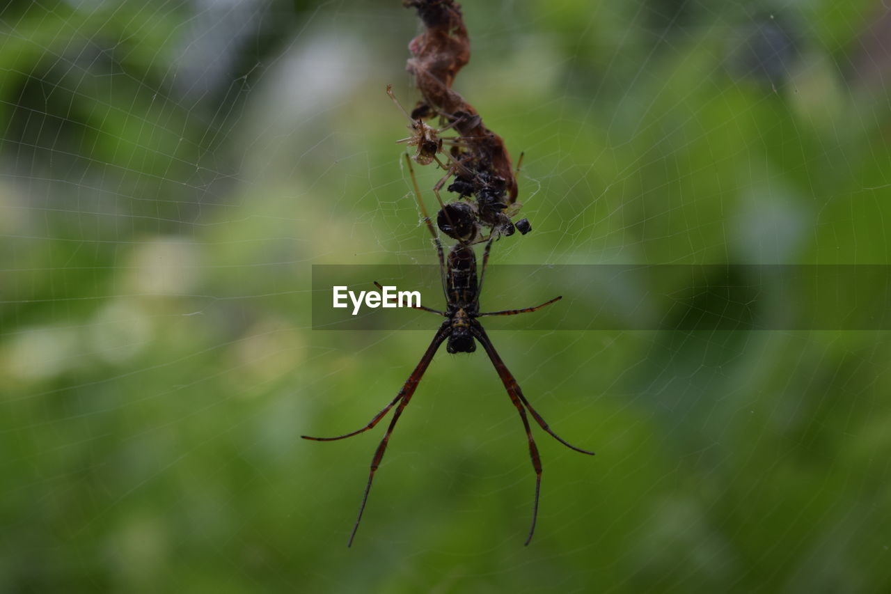 close-up, spider web, fragility, invertebrate, focus on foreground, animal themes, animal, insect, animals in the wild, arachnid, spider, no people, nature, day, animal wildlife, arthropod, one animal, green color, vulnerability, plant, web, outdoors, animal leg