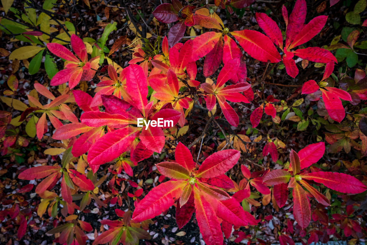 plant part, leaf, plant, beauty in nature, red, nature, autumn, growth, full frame, close-up, no people, backgrounds, freshness, high angle view, outdoors, change, day, flower, flowering plant, maple leaf, leaves, natural condition