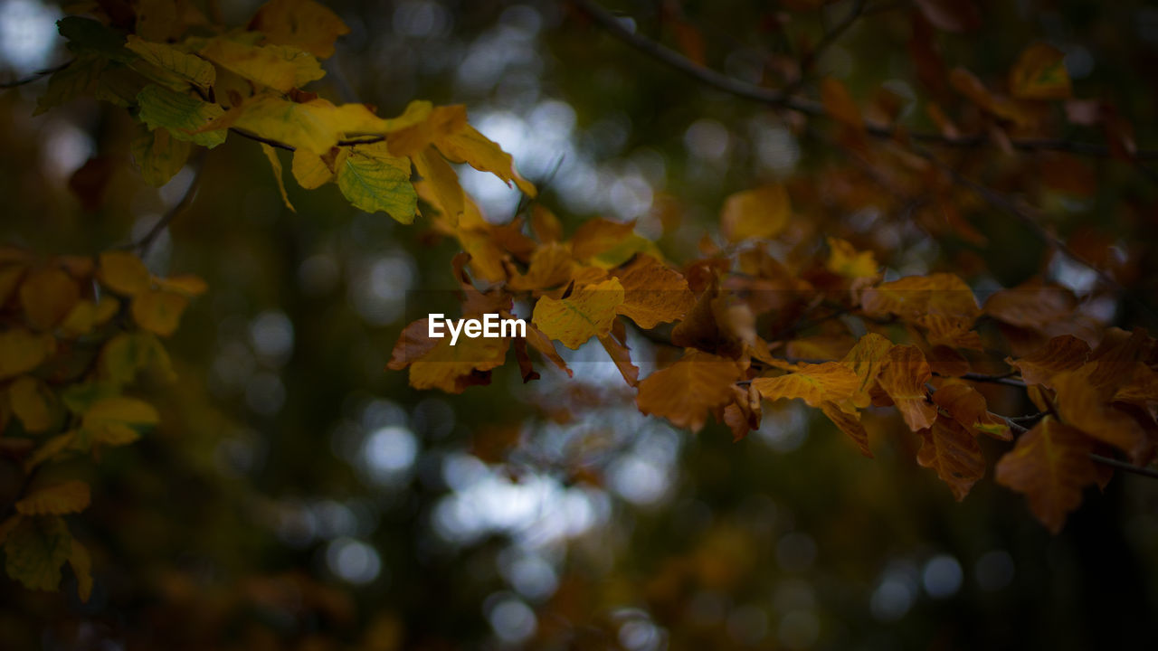 leaf, autumn, nature, beauty in nature, change, tree, growth, outdoors, day, branch, no people, fragility, close-up, maple
