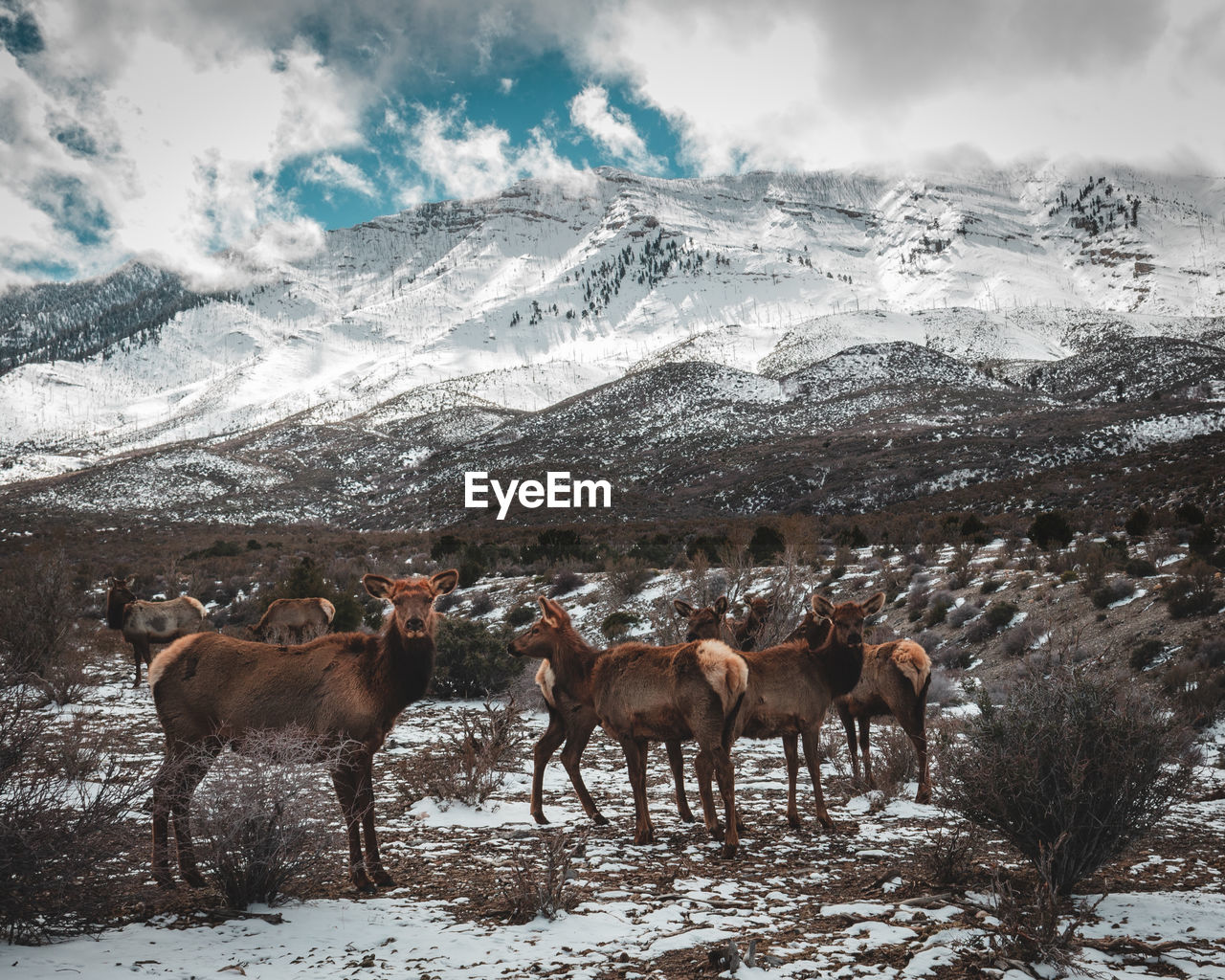 HORSES IN SNOW COVERED LAND