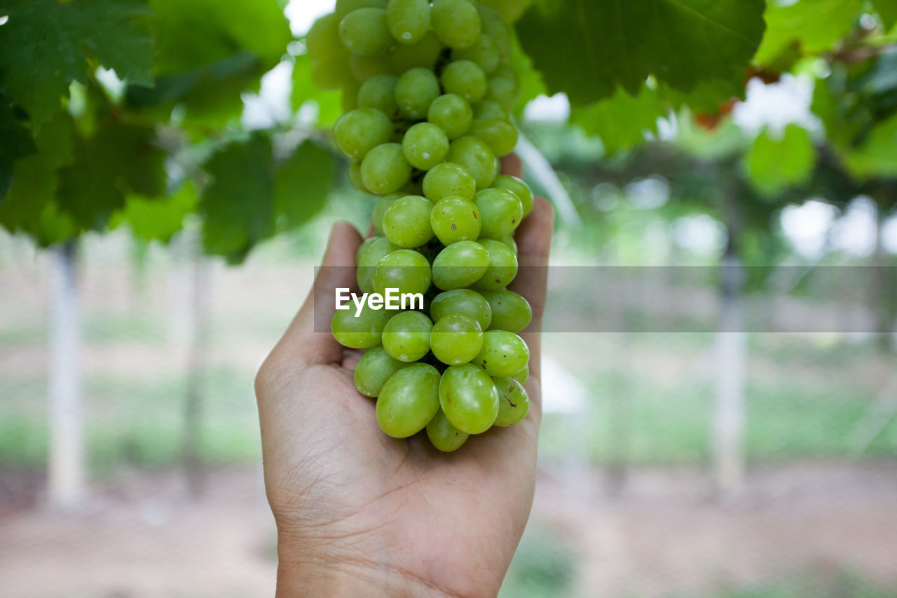 Close-up of hand holding grapes in vineyard