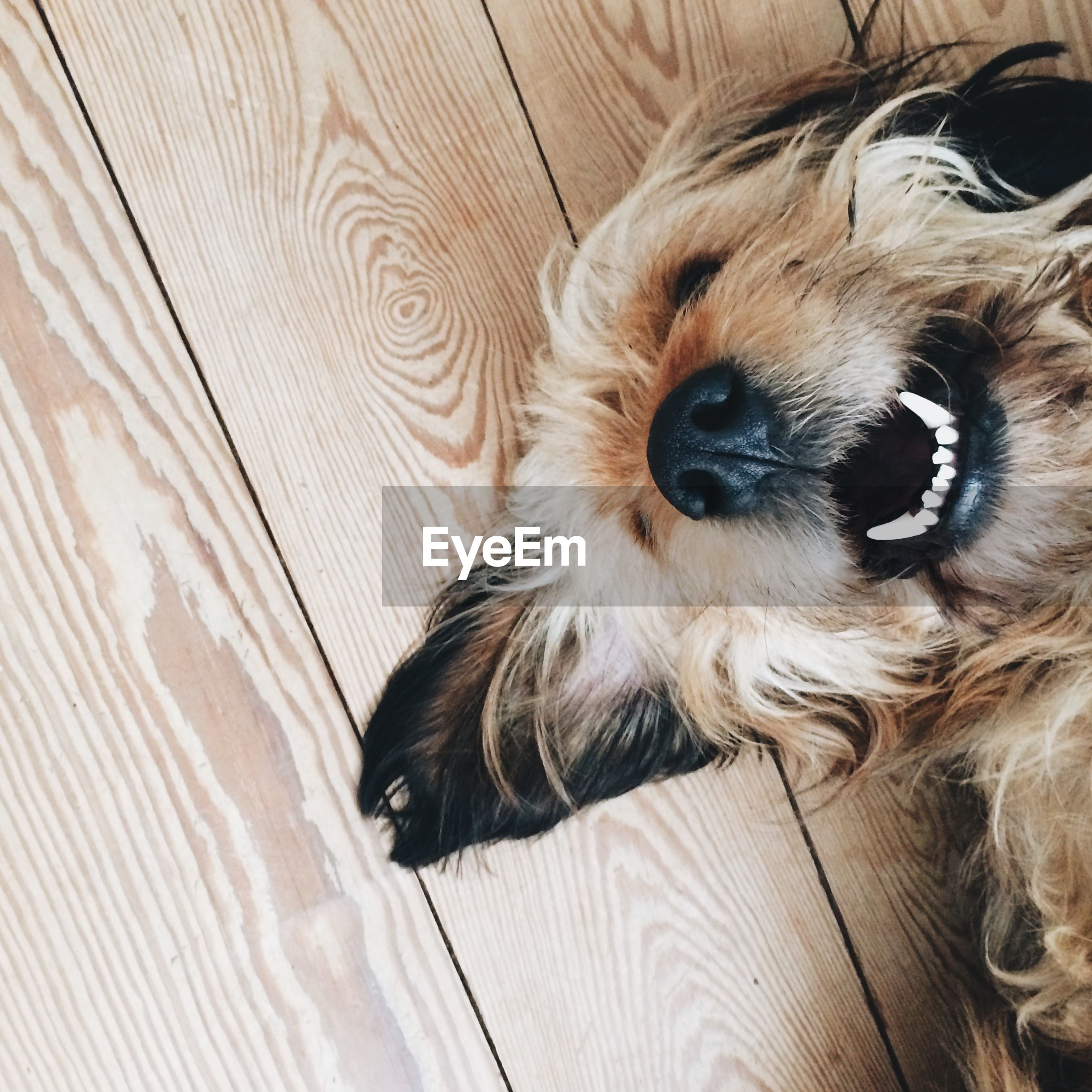 Directly above shot dog on wooden floor at home