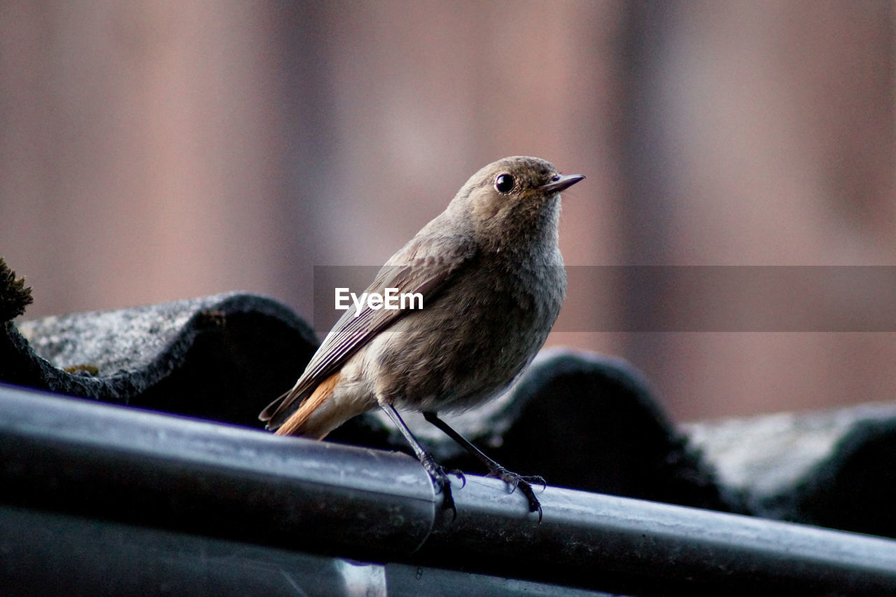 Low Angle View Of Young Robin Perching On Pipe By Roof