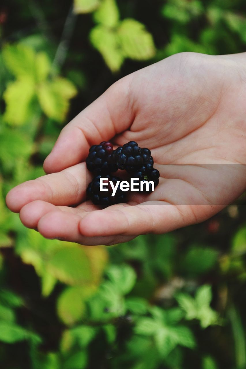 Cropped image of person holding berries