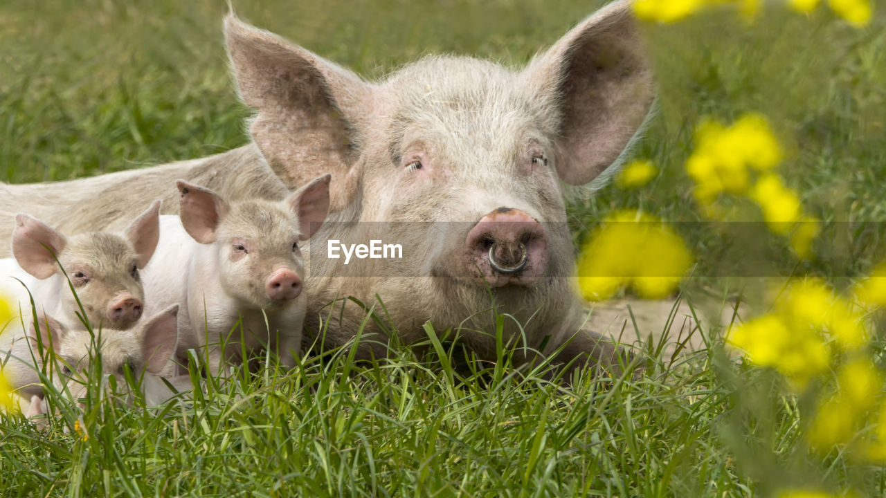 mammal, group of animals, animal, plant, pig, animal themes, livestock, domestic animals, piglet, grass, young animal, field, portrait, land, day, nature, vertebrate, looking at camera, pets, domestic, no people, outdoors, snout, animal head