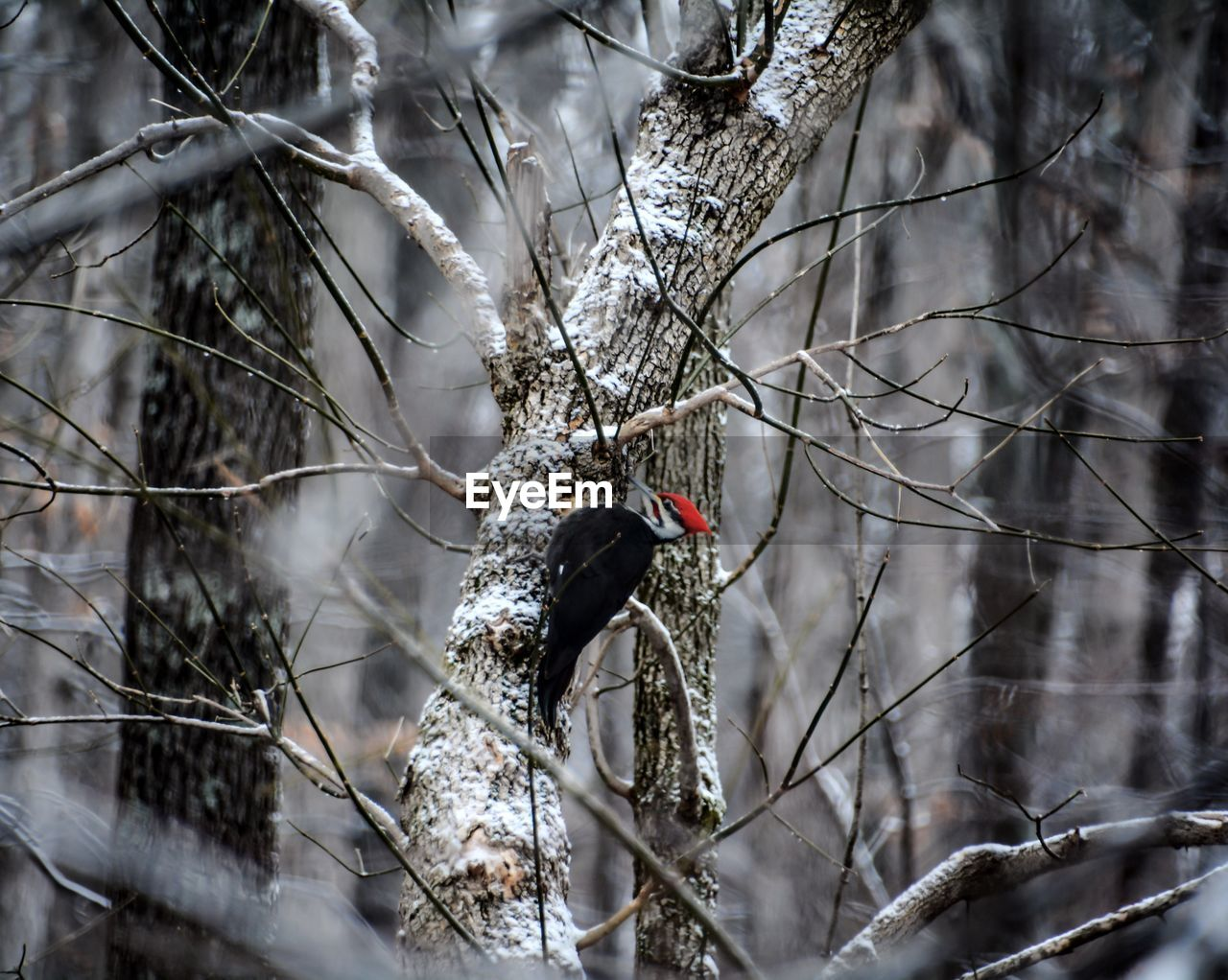 Woodpecker on tree during winter