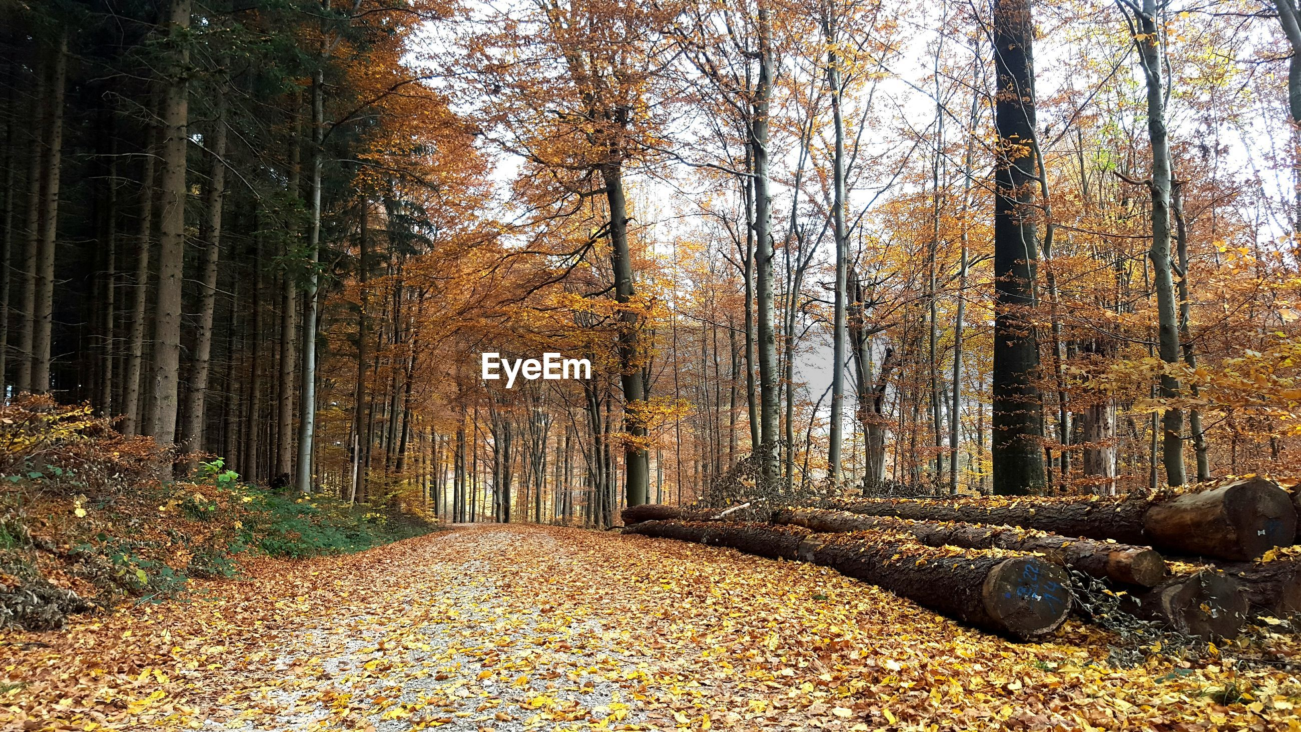 tree, forest, tranquility, autumn, tree trunk, the way forward, nature, tranquil scene, change, woodland, growth, beauty in nature, scenics, leaf, dirt road, landscape, non-urban scene, footpath, season, diminishing perspective