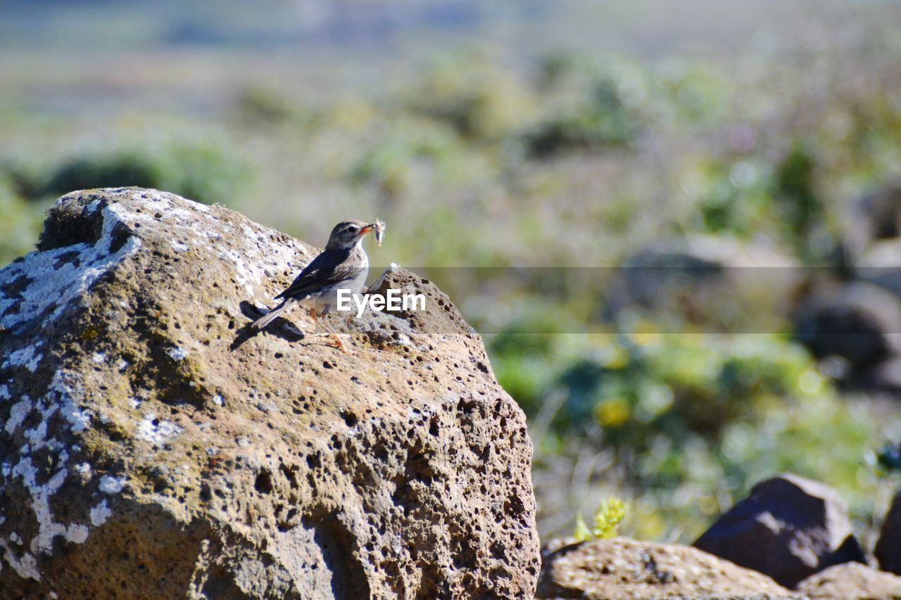 animal wildlife, animals in the wild, animal themes, animal, vertebrate, one animal, rock, bird, focus on foreground, rock - object, solid, nature, day, no people, perching, close-up, outdoors, sunlight, land, selective focus
