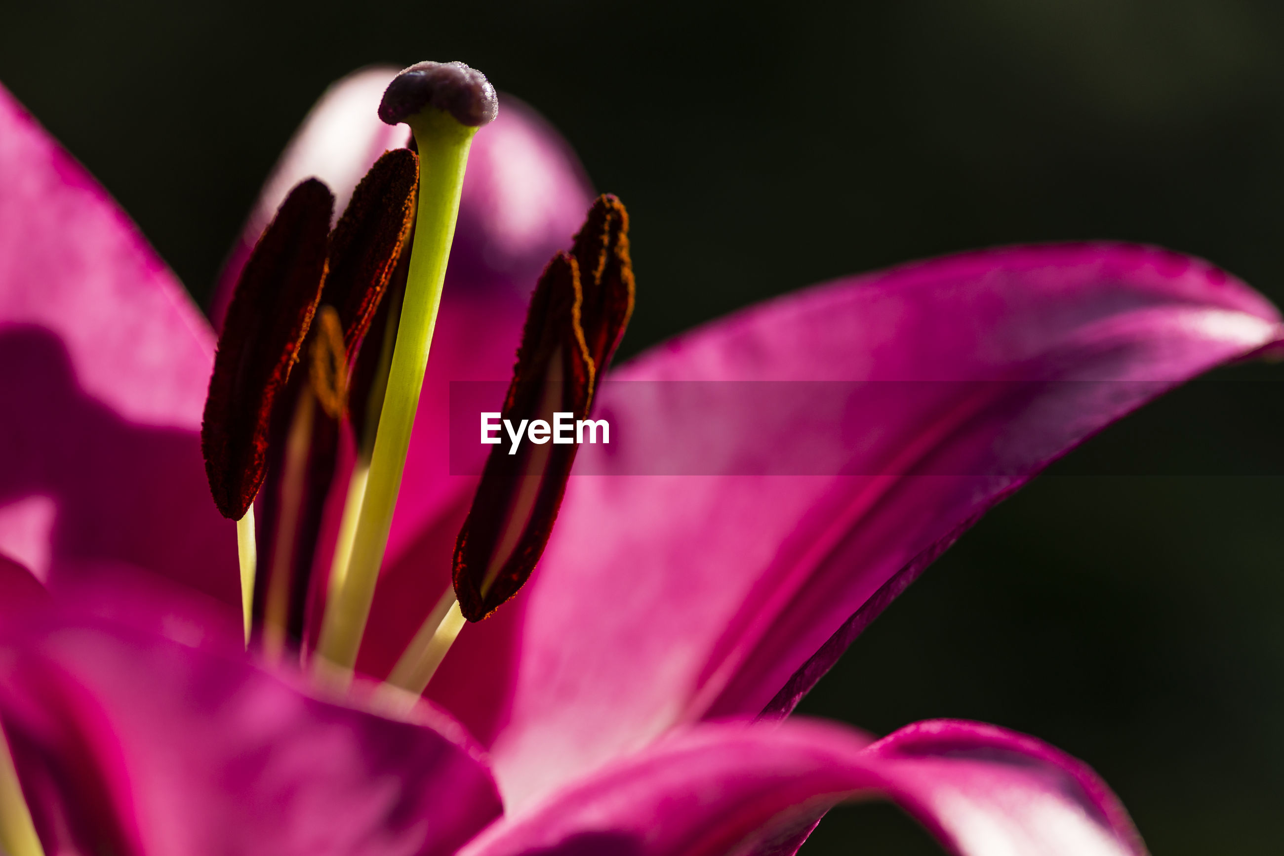 CLOSE-UP OF PINK DAY LILY