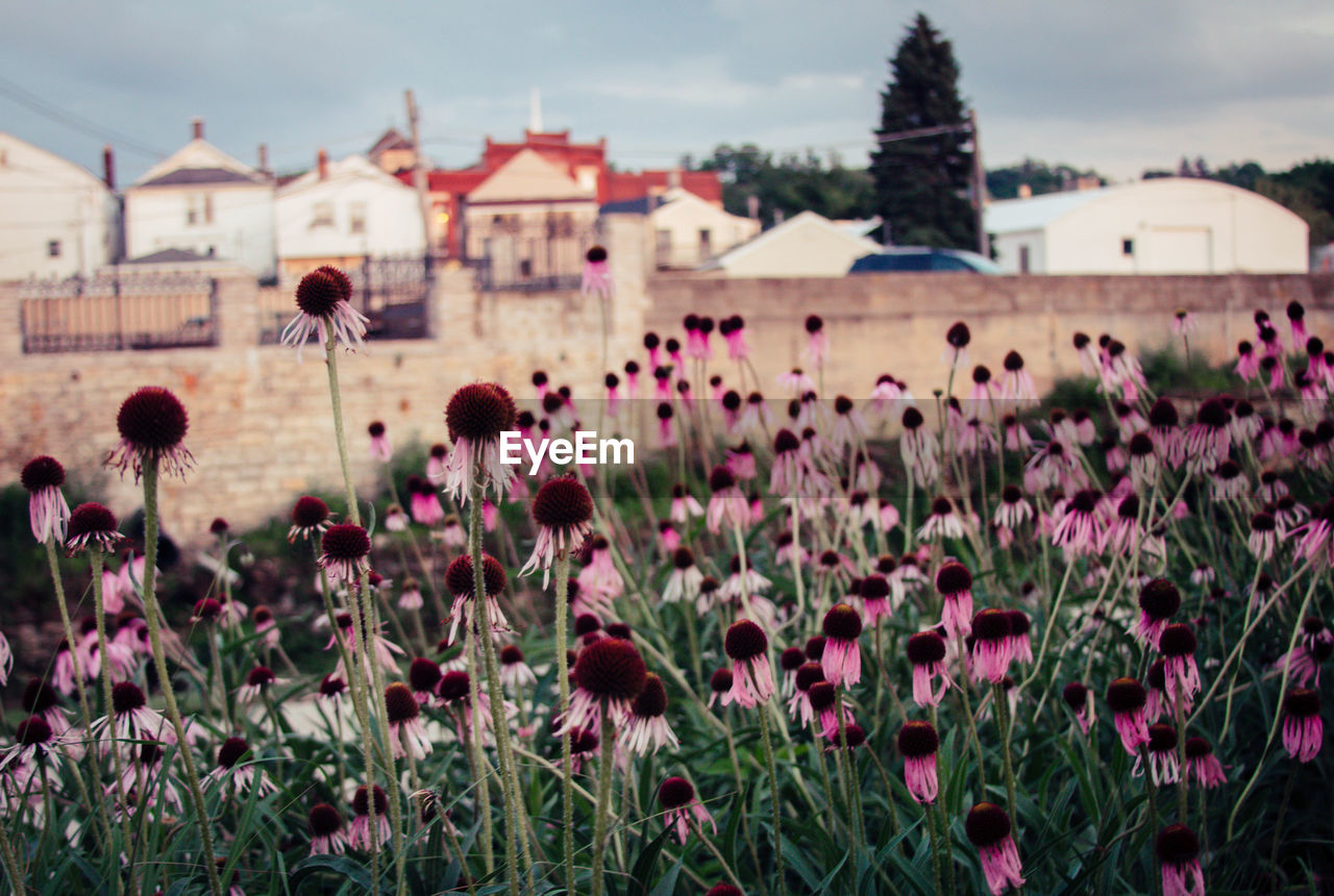 flowering plant, flower, plant, growth, built structure, building exterior, architecture, nature, freshness, sky, vulnerability, beauty in nature, fragility, day, focus on foreground, building, field, land, close-up, pink color, outdoors, purple, flower head