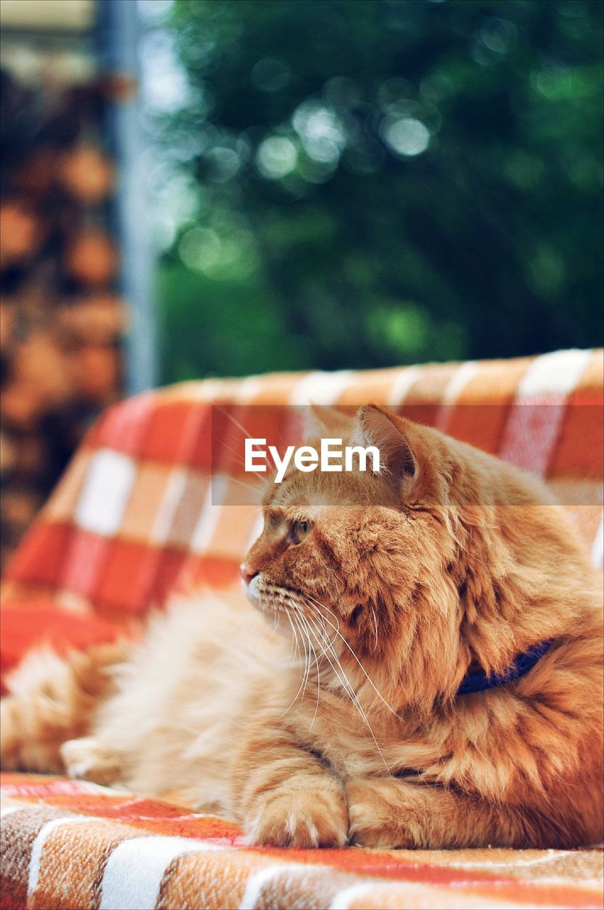 animal themes, mammal, animal, feline, one animal, cat, domestic animals, pets, vertebrate, domestic, domestic cat, focus on foreground, relaxation, no people, whisker, close-up, day, resting, carnivora, animal wildlife, ginger cat