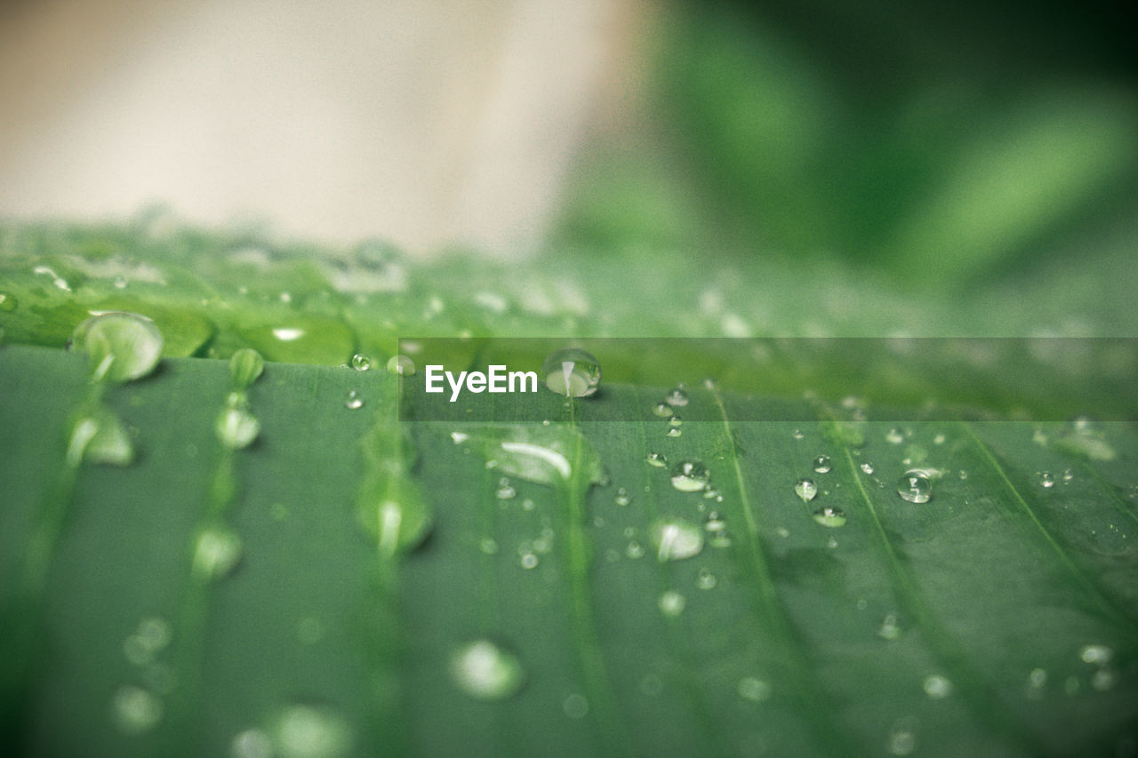 drop, wet, green color, leaf, plant part, selective focus, water, close-up, no people, beauty in nature, nature, freshness, raindrop, growth, rain, plant, day, dew, outdoors, purity, rainy season, leaves, blade of grass
