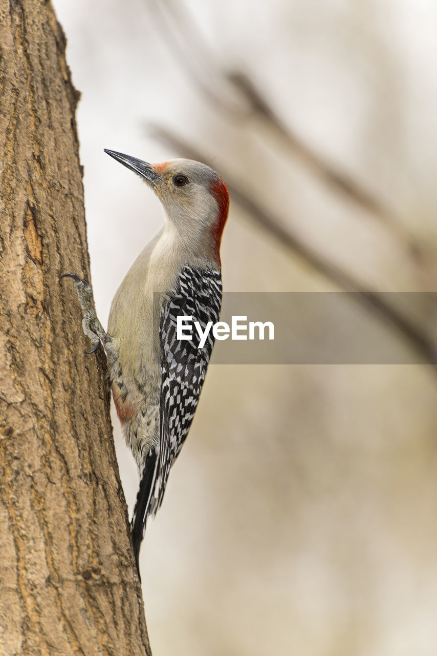 animal themes, bird, animal, animals in the wild, vertebrate, animal wildlife, one animal, tree, perching, focus on foreground, woodpecker, tree trunk, no people, trunk, close-up, nature, plant, day, low angle view, branch, outdoors, beak