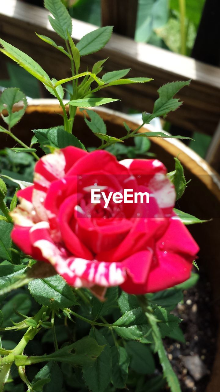 red, flower, petal, growth, nature, plant, freshness, beauty in nature, fragility, rose - flower, no people, flower head, leaf, day, close-up, outdoors