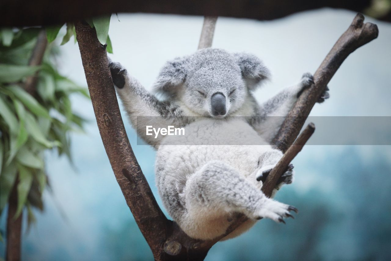 Close-up of coala bear sleeping on tree