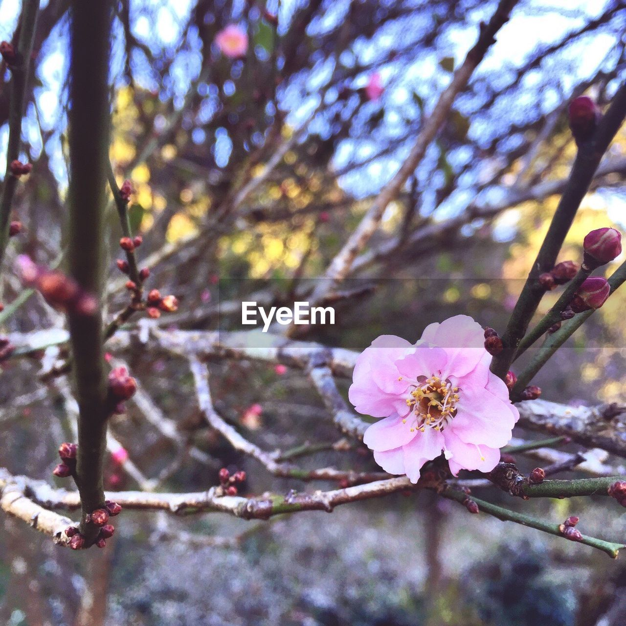 flower, tree, nature, branch, fragility, beauty in nature, growth, blossom, day, outdoors, twig, springtime, apple blossom, petal, freshness, pink color, no people, plum blossom, close-up, flower head, stamen, blooming