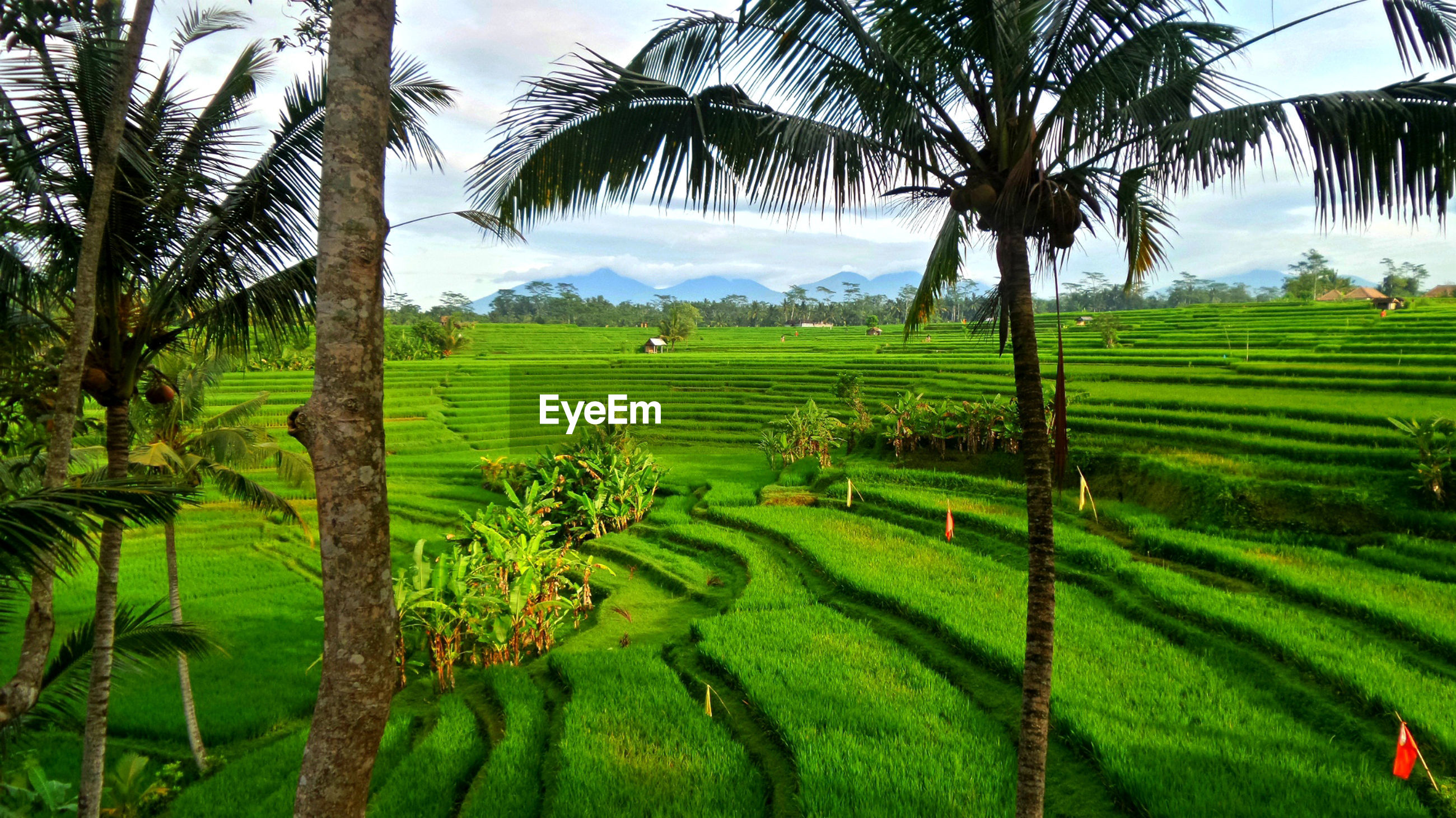 SCENIC VIEW OF PALM TREES IN FARM