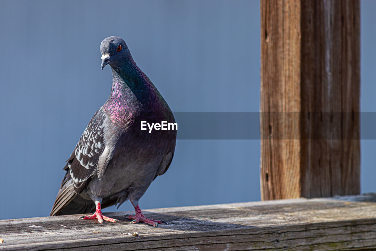 bird, vertebrate, animal, animal themes, one animal, wood - material, animals in the wild, perching, animal wildlife, day, no people, focus on foreground, nature, close-up, pigeon, outdoors, full length, looking, wood, sunlight, wooden post