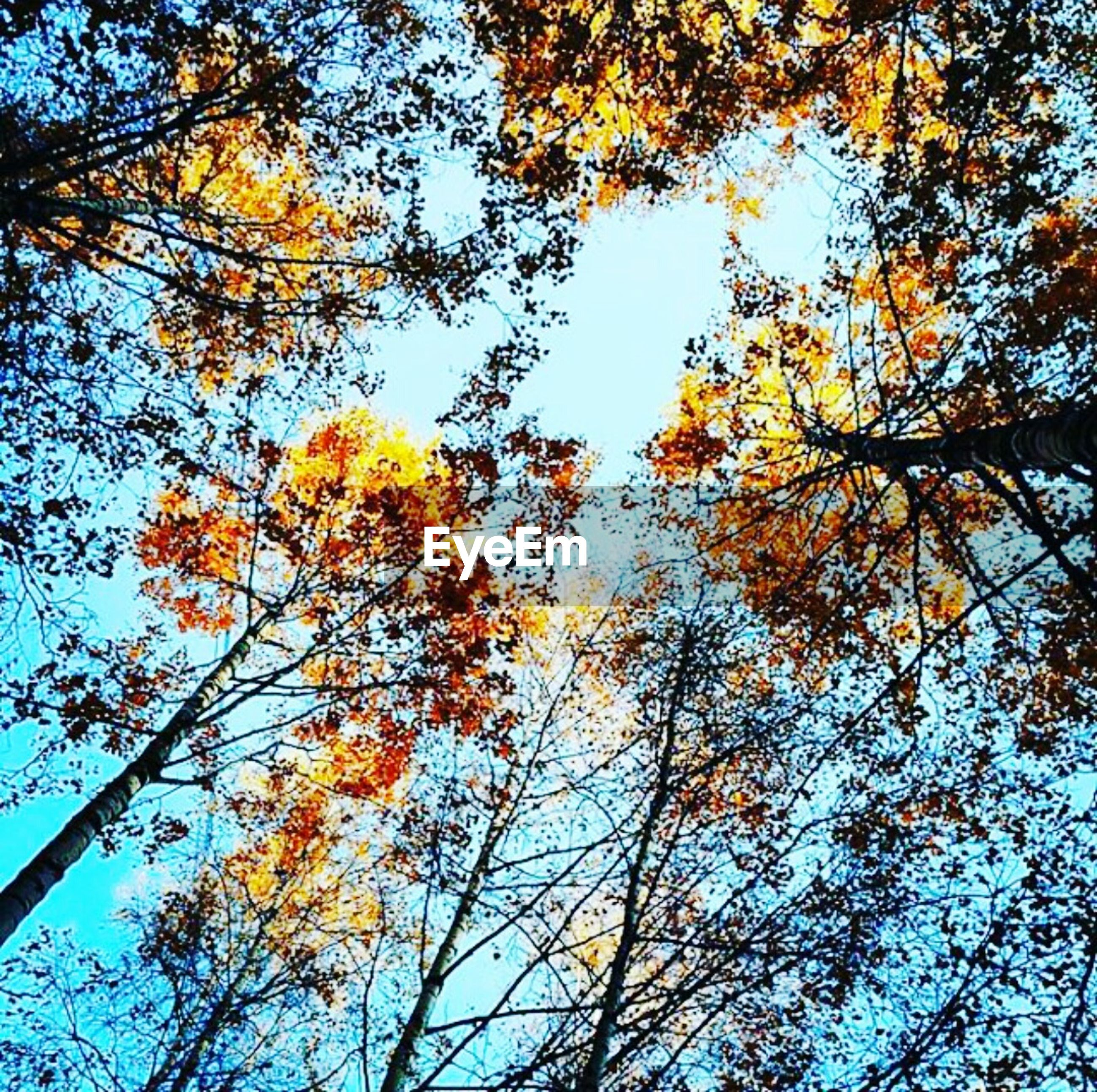 tree, low angle view, autumn, branch, change, growth, season, nature, yellow, beauty in nature, tranquility, clear sky, sky, blue, leaf, day, sunlight, outdoors, tree trunk, no people