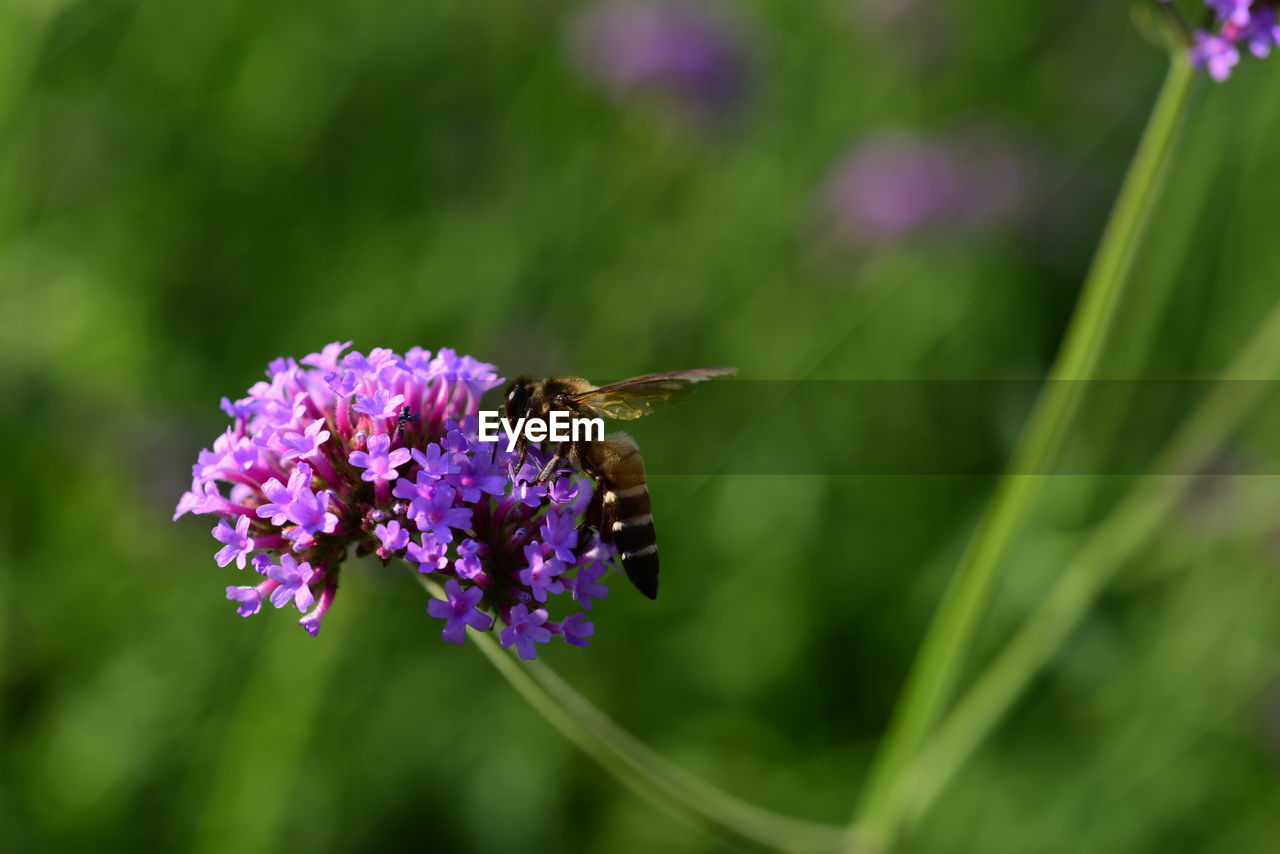 flowering plant, flower, animals in the wild, animal themes, animal wildlife, invertebrate, insect, animal, fragility, beauty in nature, plant, one animal, vulnerability, freshness, bee, growth, purple, petal, close-up, pollination, flower head, no people, animal wing