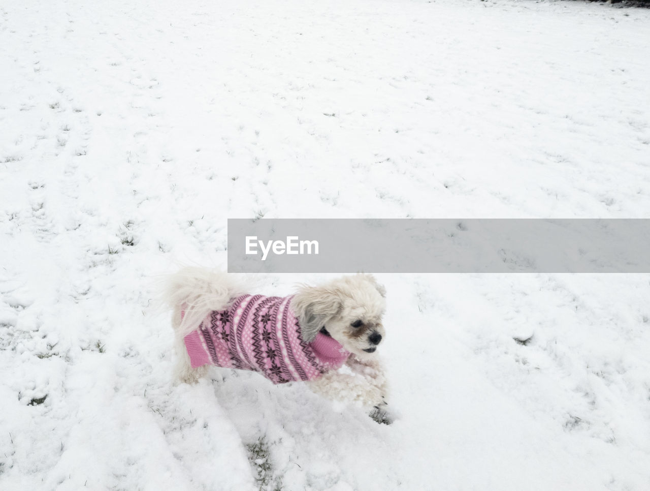 canine, one animal, dog, pets, domestic, animal themes, snow, animal, domestic animals, mammal, cold temperature, winter, vertebrate, white color, pet clothing, day, clothing, no people, land, small, warm clothing, snowing
