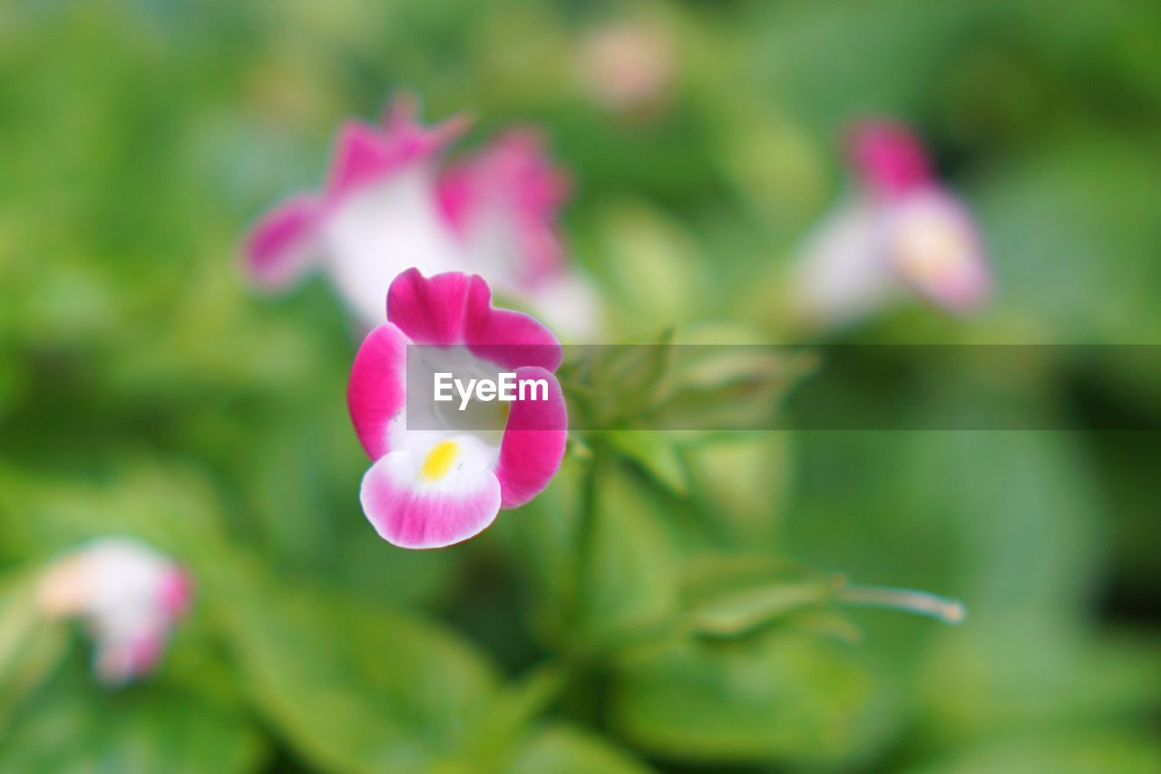 flower, flowering plant, fragility, vulnerability, petal, beauty in nature, plant, freshness, pink color, close-up, inflorescence, growth, flower head, no people, selective focus, nature, day, focus on foreground, outdoors, green color