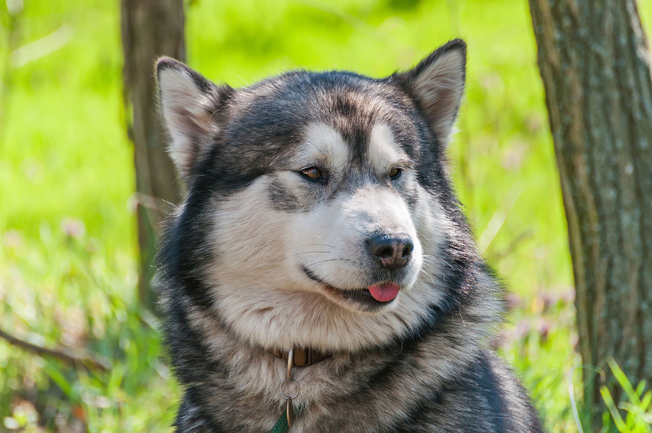 one animal, animal, animal themes, mammal, domestic animals, dog, canine, domestic, pets, vertebrate, focus on foreground, close-up, day, plant, looking, nature, no people, land, field, sled dog, outdoors, animal head