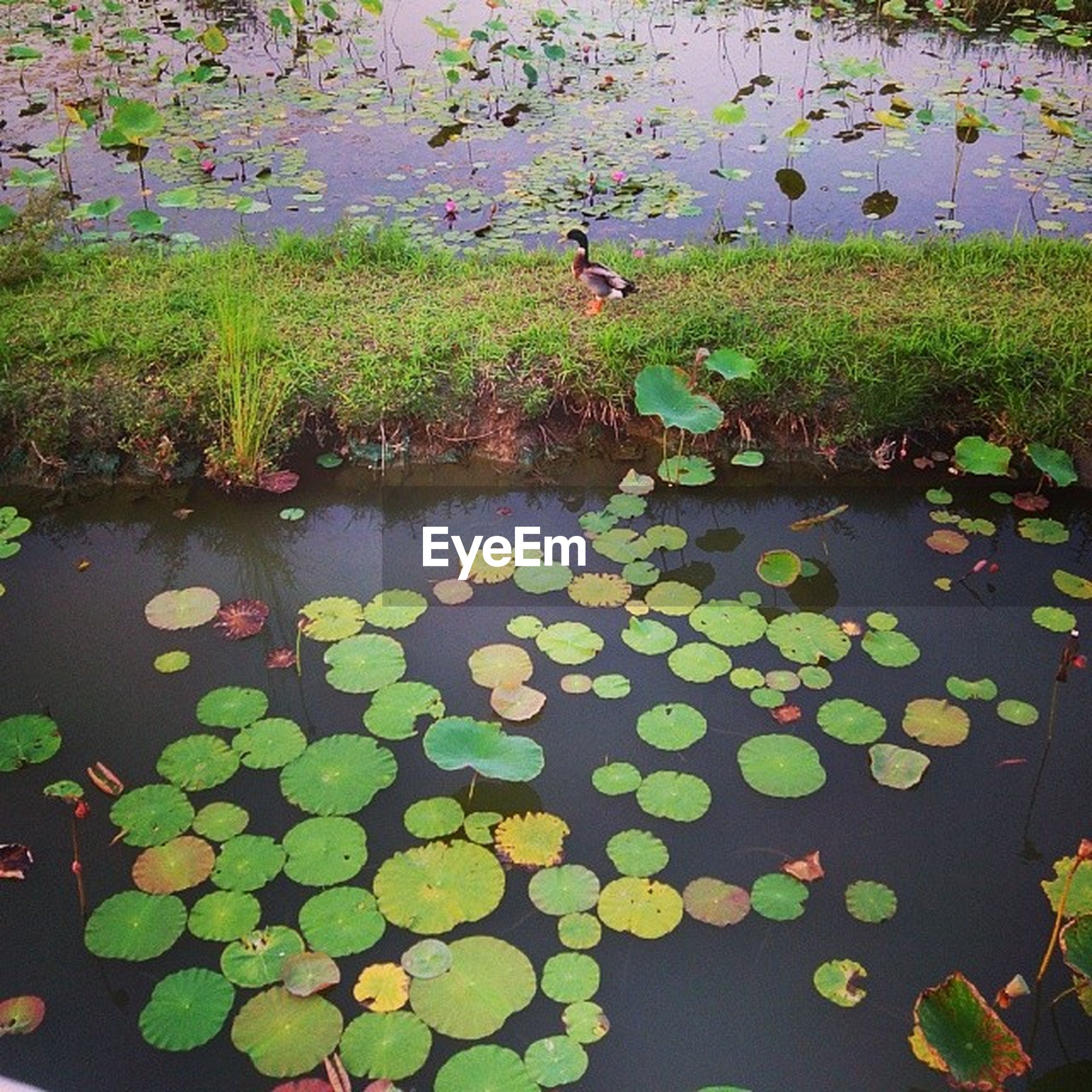 water, pond, high angle view, leaf, lake, floating on water, reflection, water lily, nature, plant, green color, growth, tranquility, beauty in nature, day, flower, outdoors, leaves, no people, grass