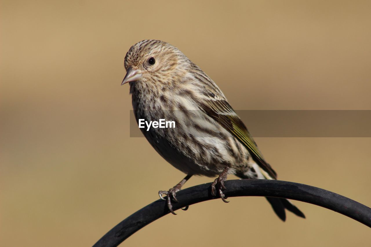 bird, animal themes, animal wildlife, one animal, animals in the wild, animal, vertebrate, perching, focus on foreground, close-up, no people, branch, day, nature, outdoors, beauty in nature, twig, sparrow, looking, full length
