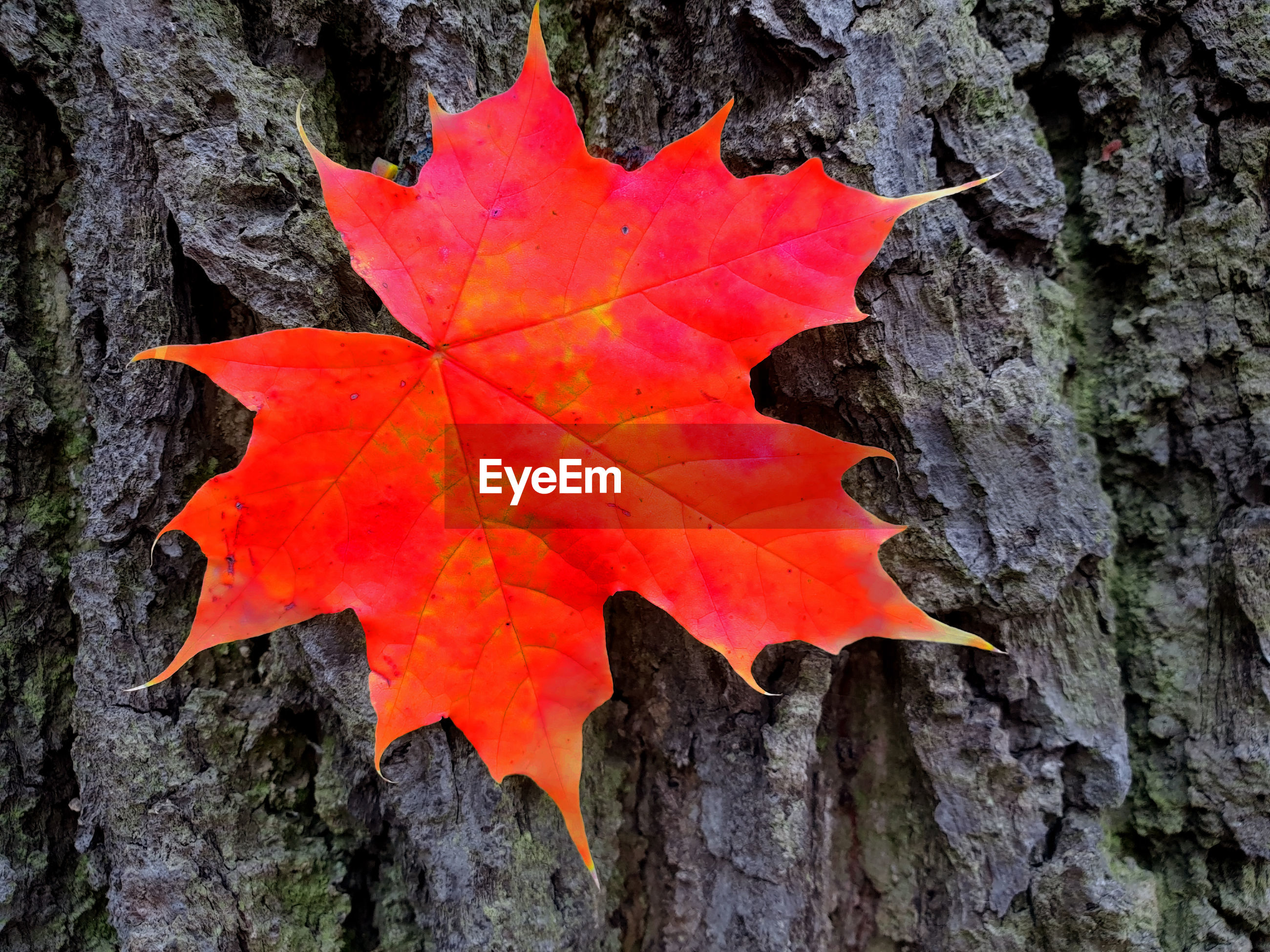 CLOSE-UP OF RED MAPLE LEAVES ON TREE TRUNK