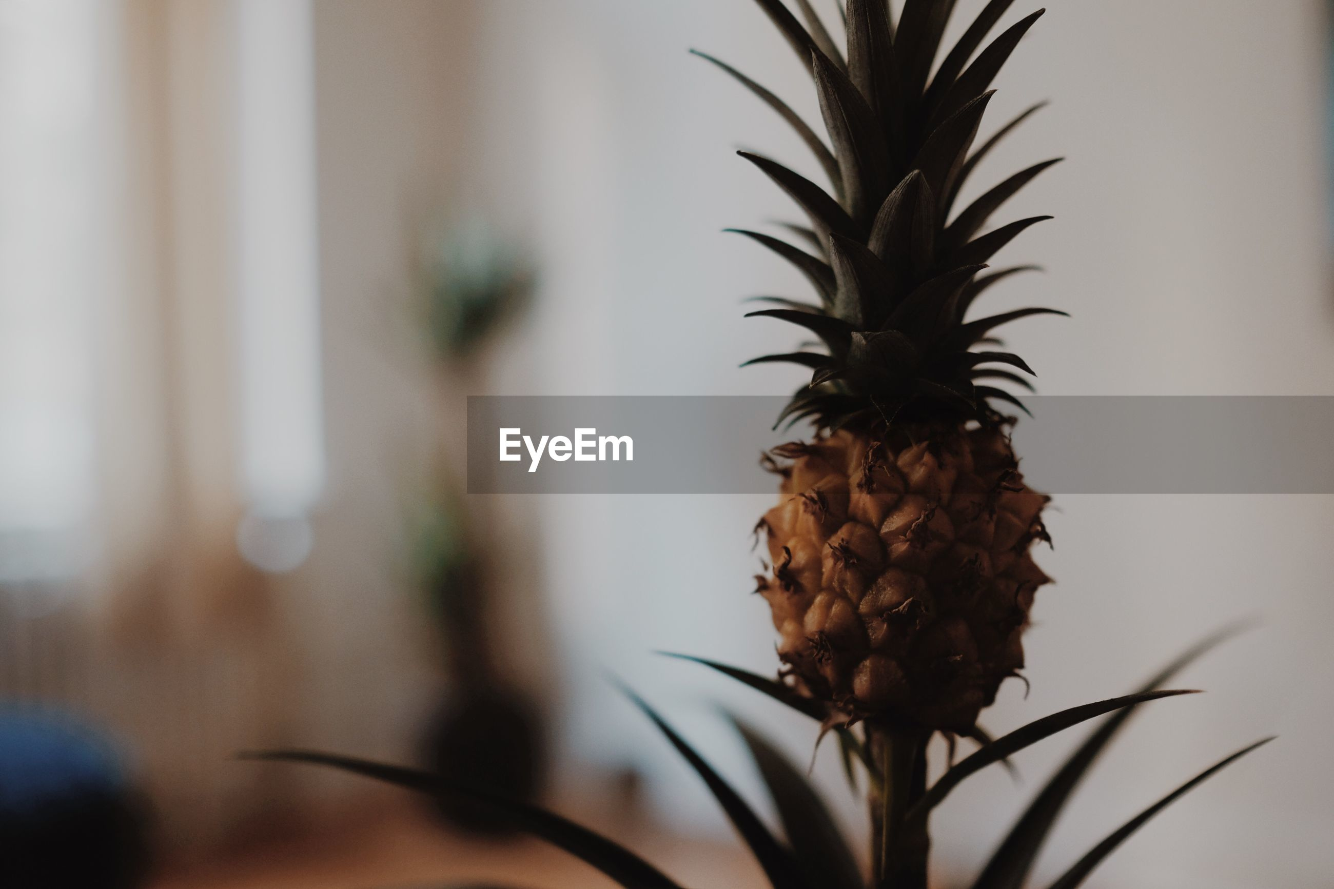 Close-up of pineapple growing against wall