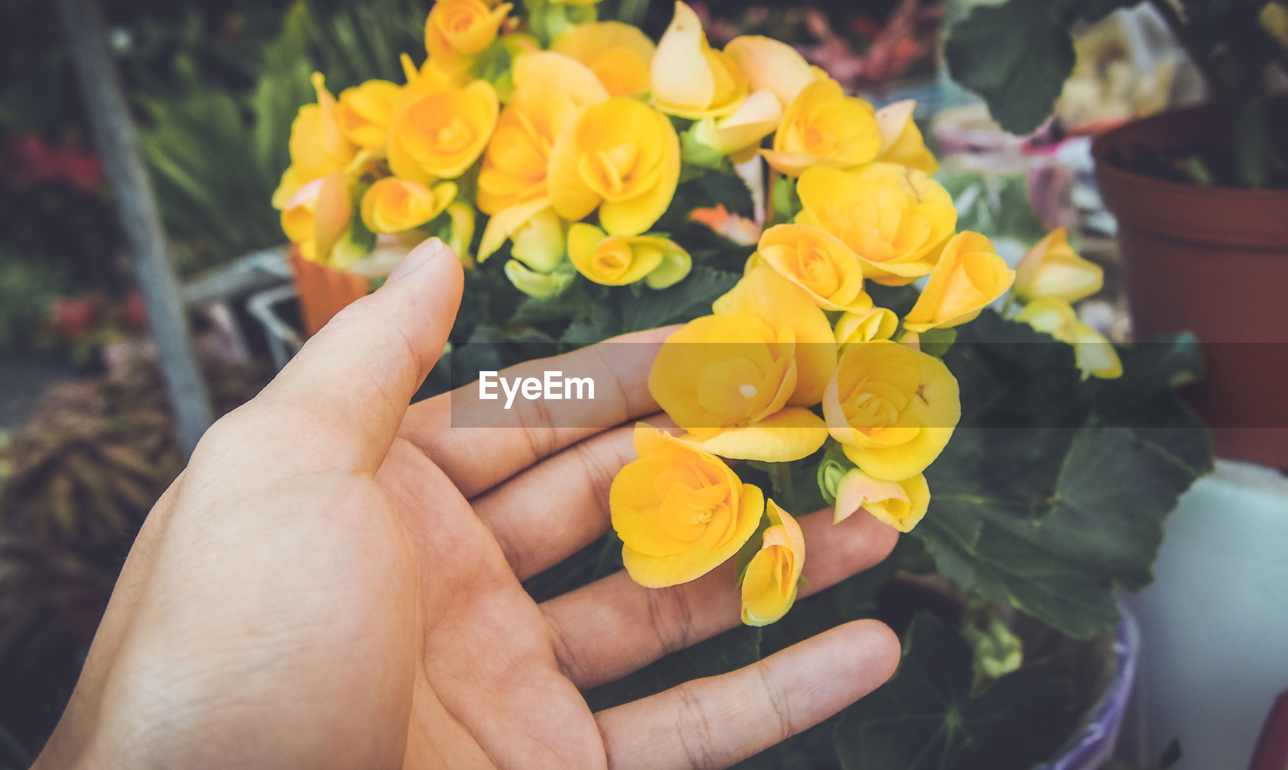 Cropped hand of woman touching yellow flowers