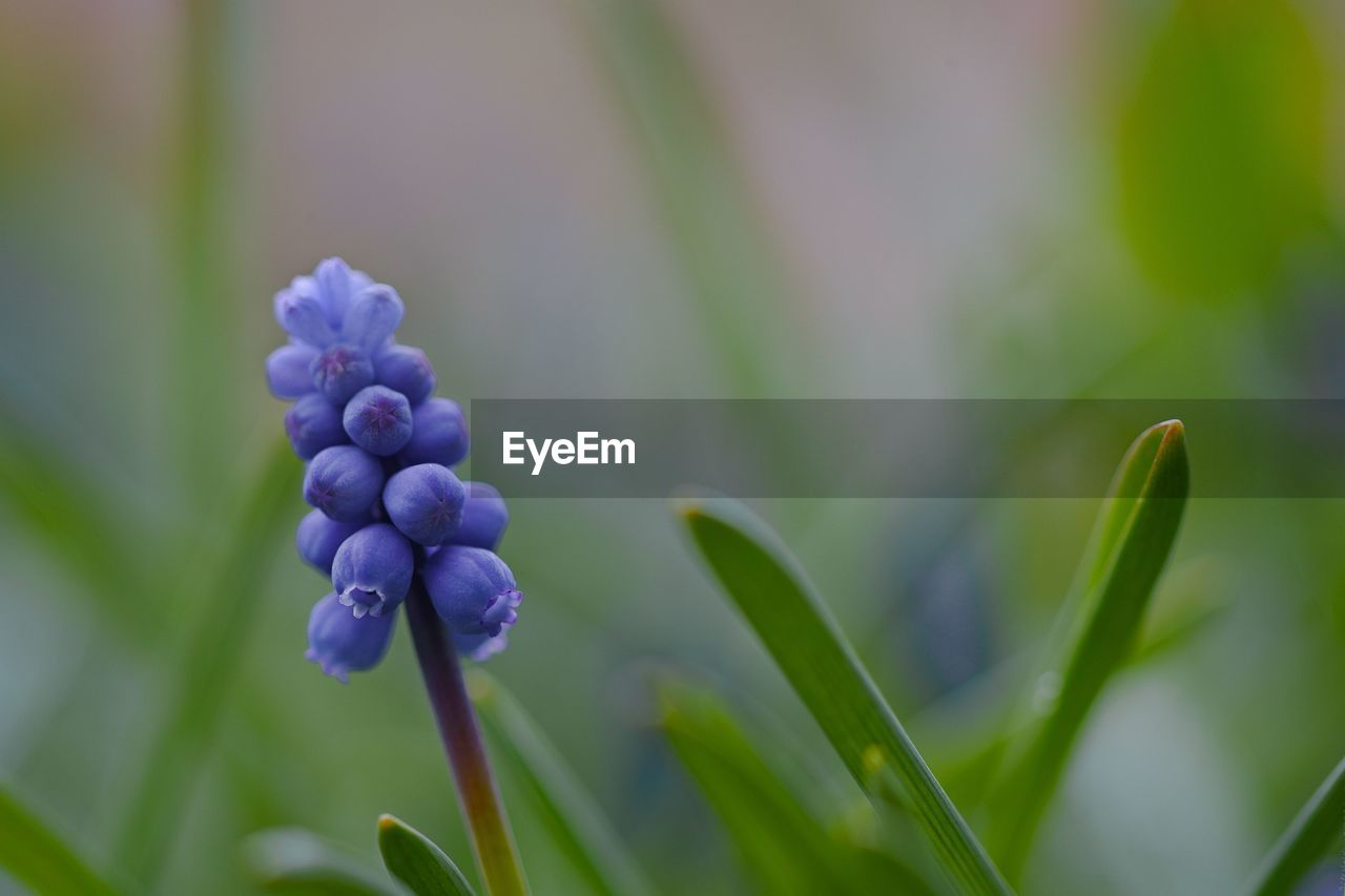 growth, plant, beauty in nature, close-up, freshness, flower, nature, flowering plant, purple, no people, focus on foreground, vulnerability, fragility, green color, bud, day, selective focus, plant part, leaf, hyacinth, outdoors