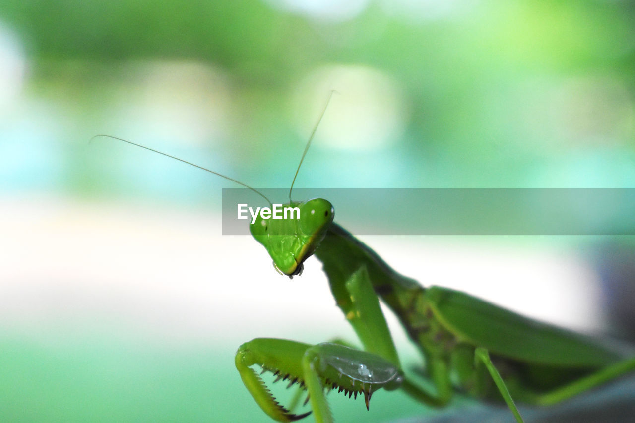 invertebrate, animal themes, insect, animal, one animal, animals in the wild, animal wildlife, green color, close-up, praying mantis, focus on foreground, no people, plant part, animal body part, day, leaf, animal antenna, nature, plant, selective focus, animal eye