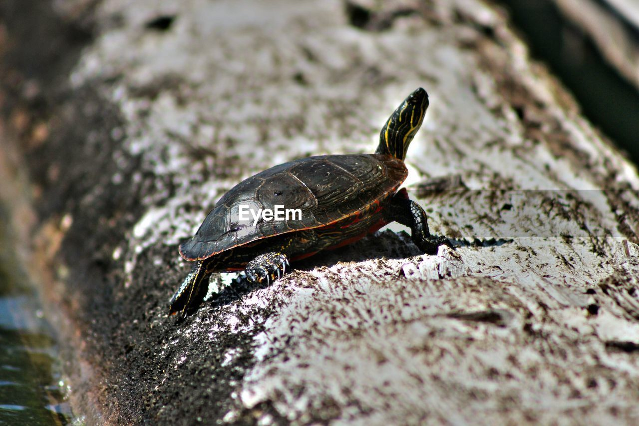 animal themes, animal, animals in the wild, animal wildlife, one animal, vertebrate, selective focus, turtle, reptile, no people, nature, day, close-up, rock, rock - object, solid, amphibian, zoology, shell, outdoors, marine