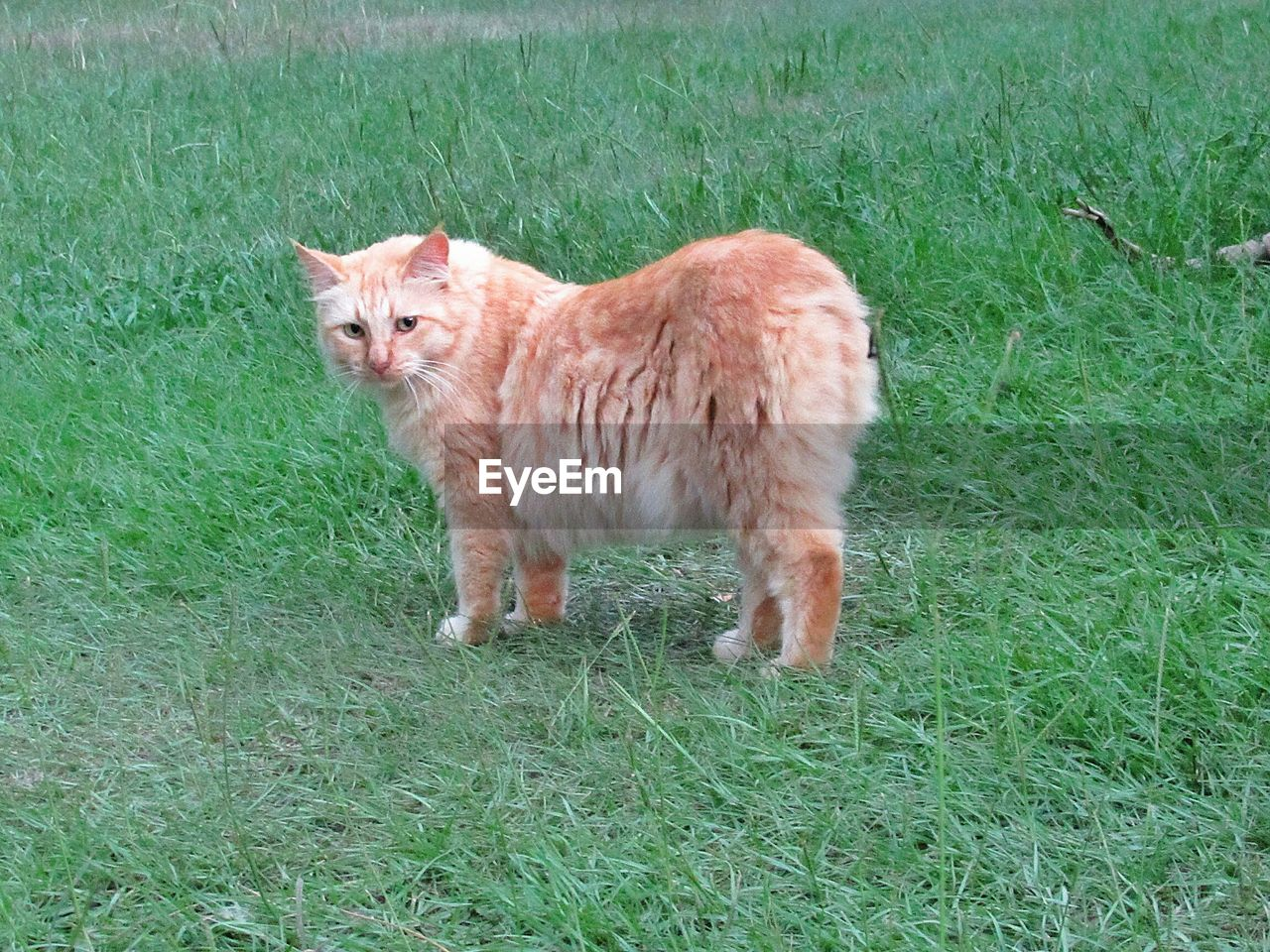grass, mammal, domestic, pets, animal, domestic animals, animal themes, plant, one animal, field, feline, cat, land, vertebrate, domestic cat, nature, green color, day, no people, standing, whisker, ginger cat