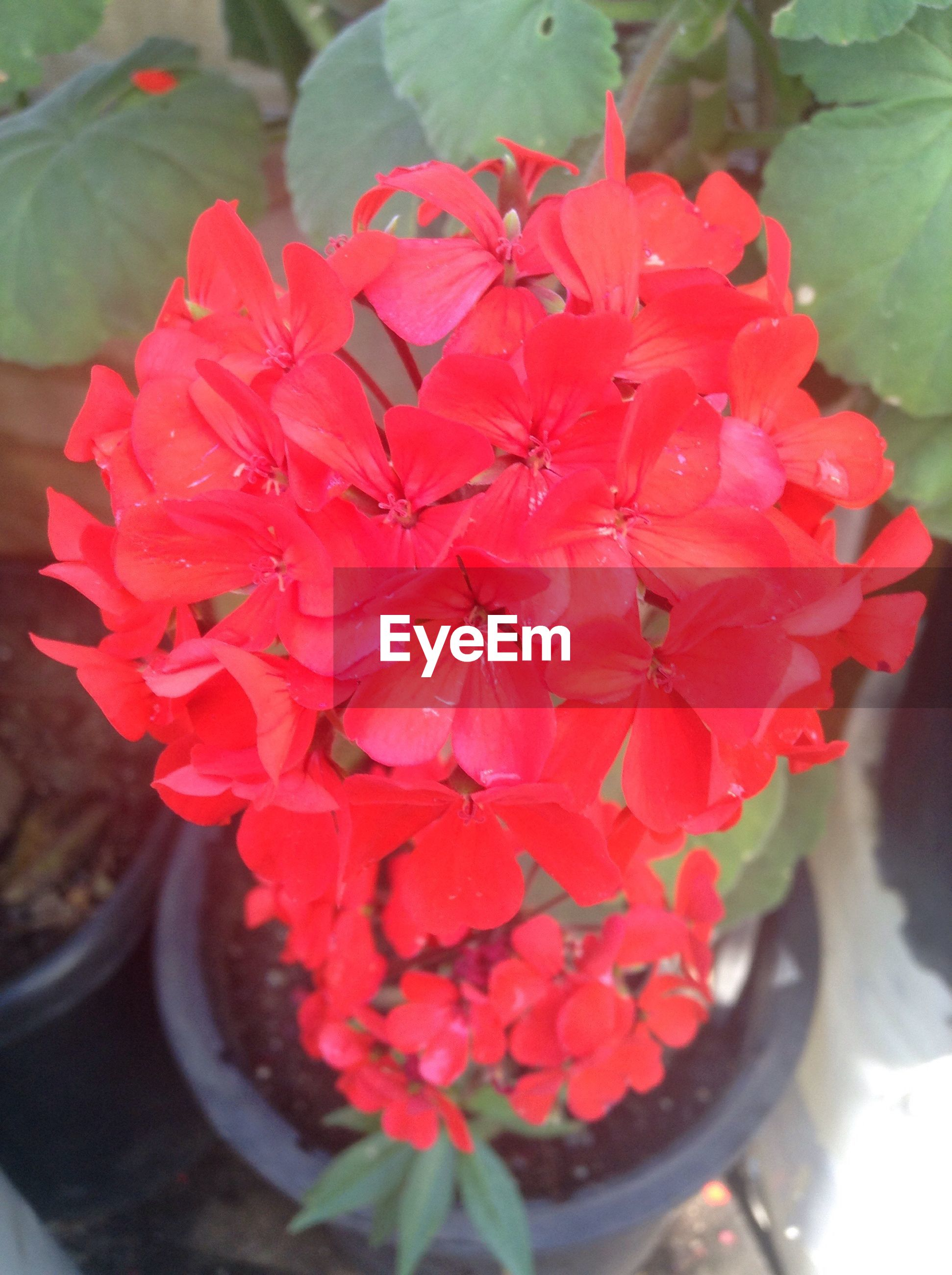 flower, freshness, petal, beauty in nature, fragility, growth, potted plant, plant, flower head, nature, day, high angle view, no people, outdoors, close-up, red, blooming, water