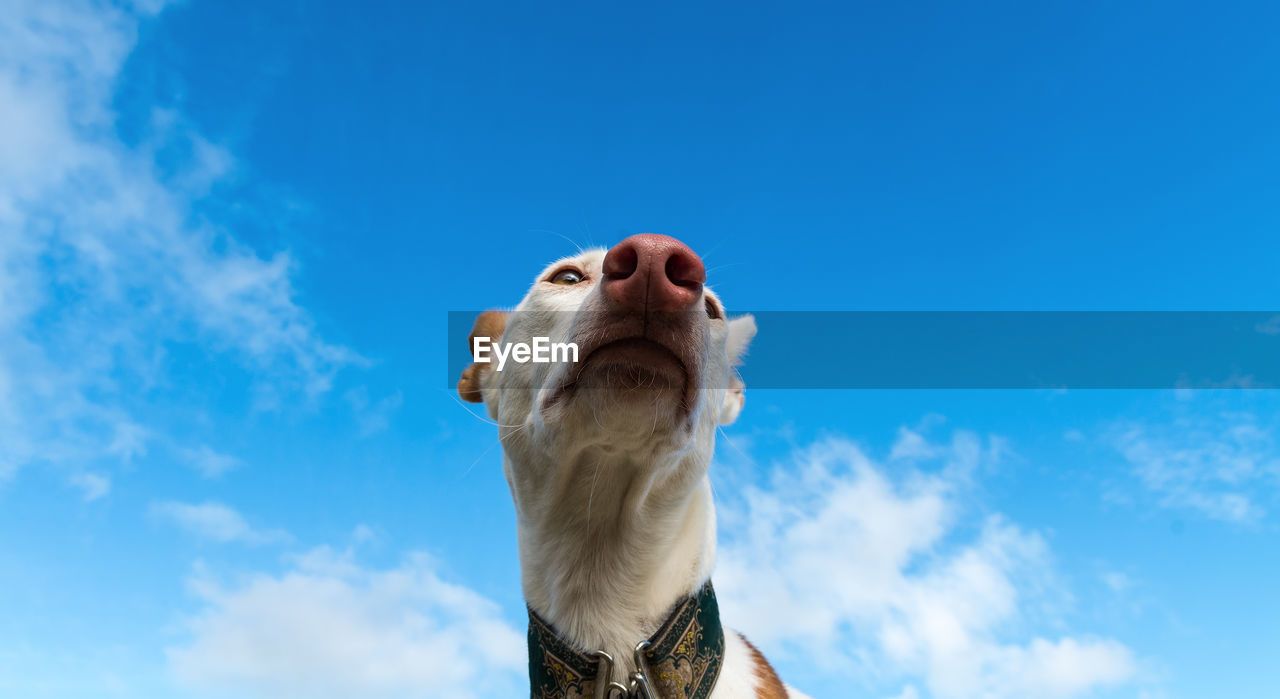 Low Angle View Of Ibizan Hound Dog Against Sky